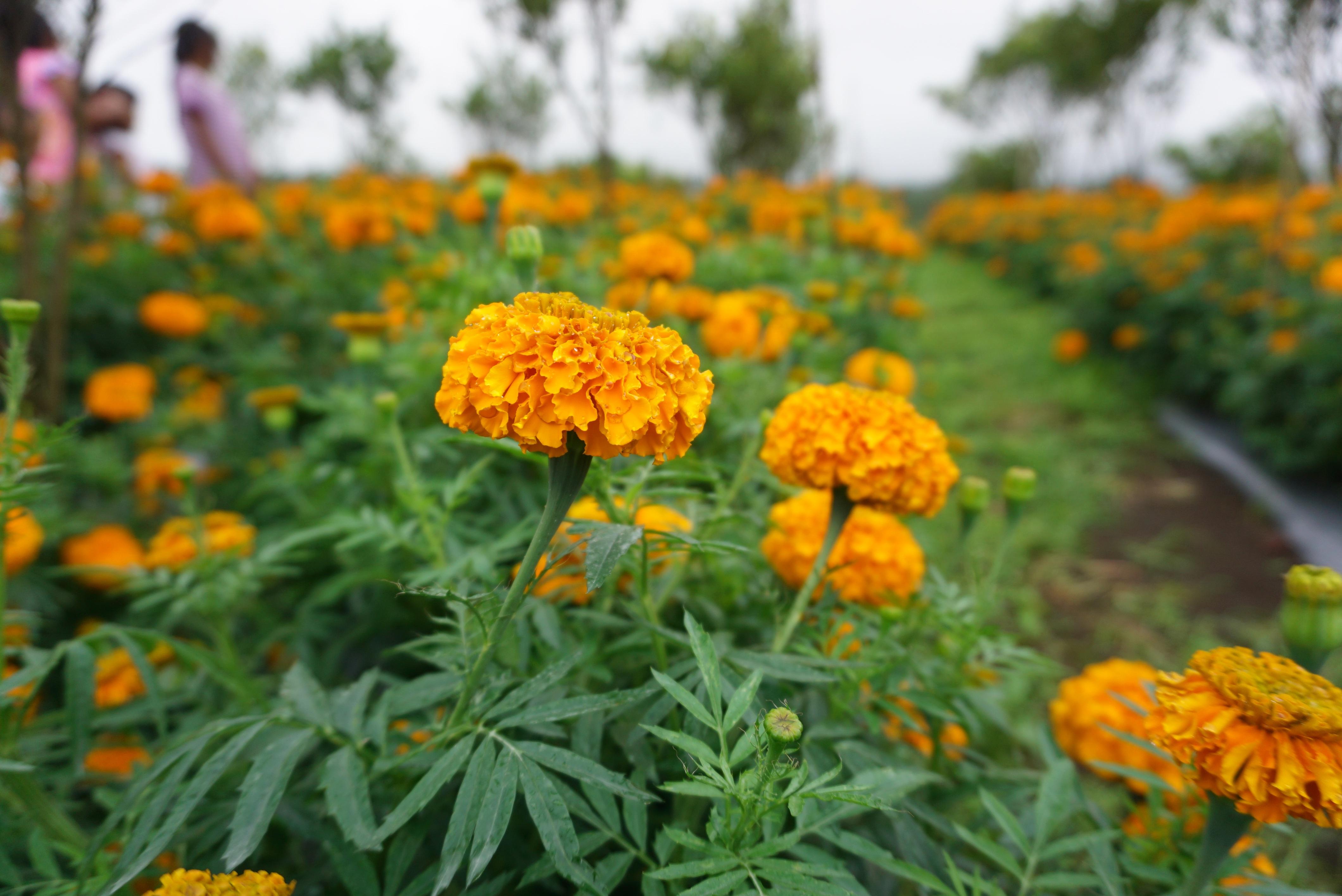 Цветы однолетние желтые