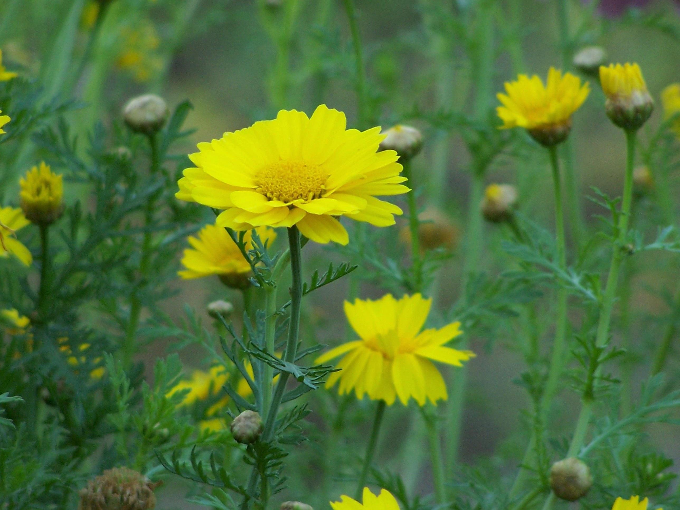 Images gratuites la nature champ prairie prairie for Plante annuelle