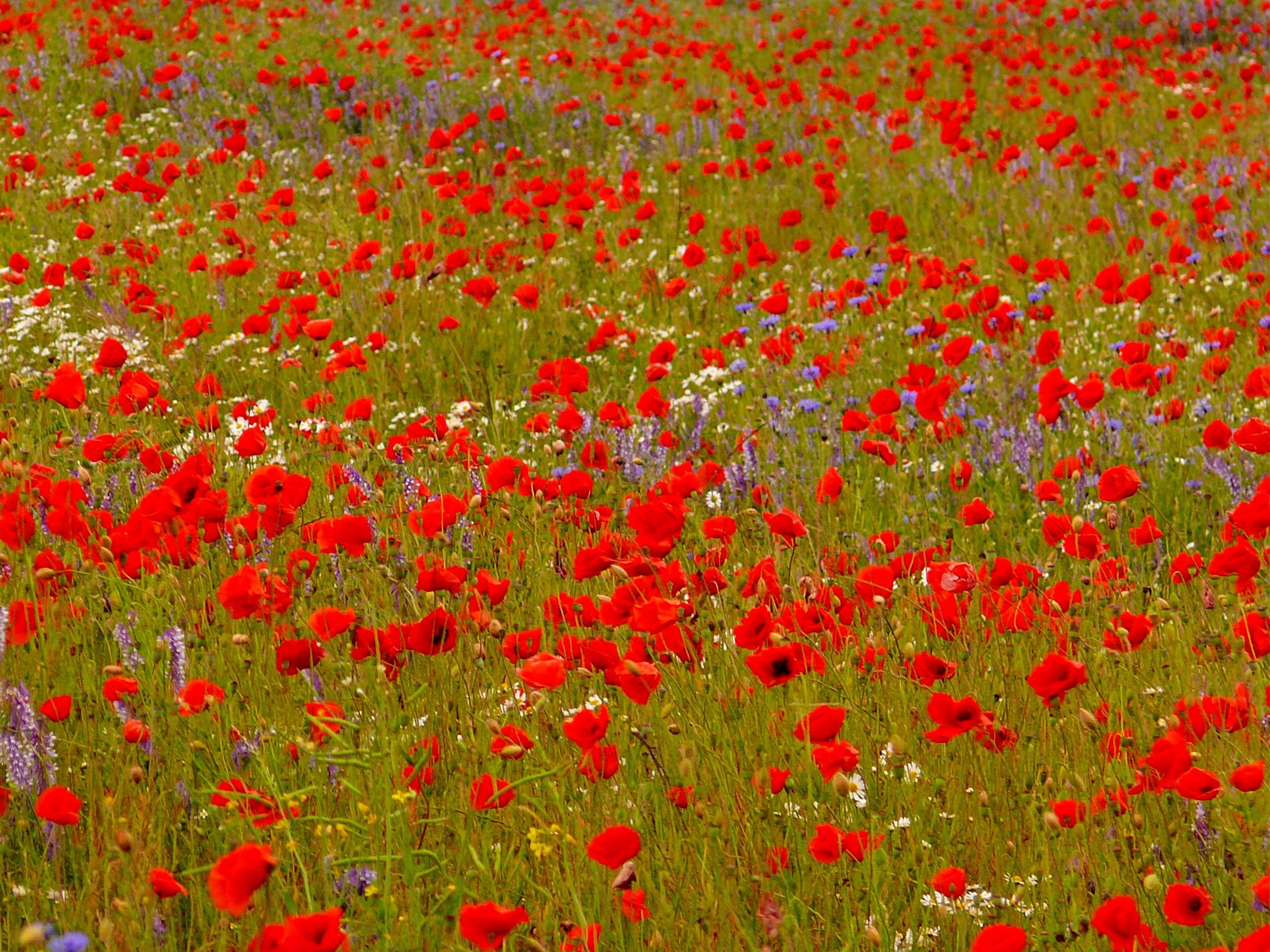 Immagini Belle : natura, prateria, fiore, petalo, fioritura, Fiore ...