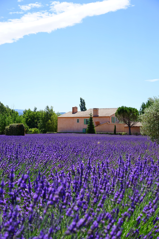 Free Images : nature, prairie, purple, aroma, green, herb, crop ...