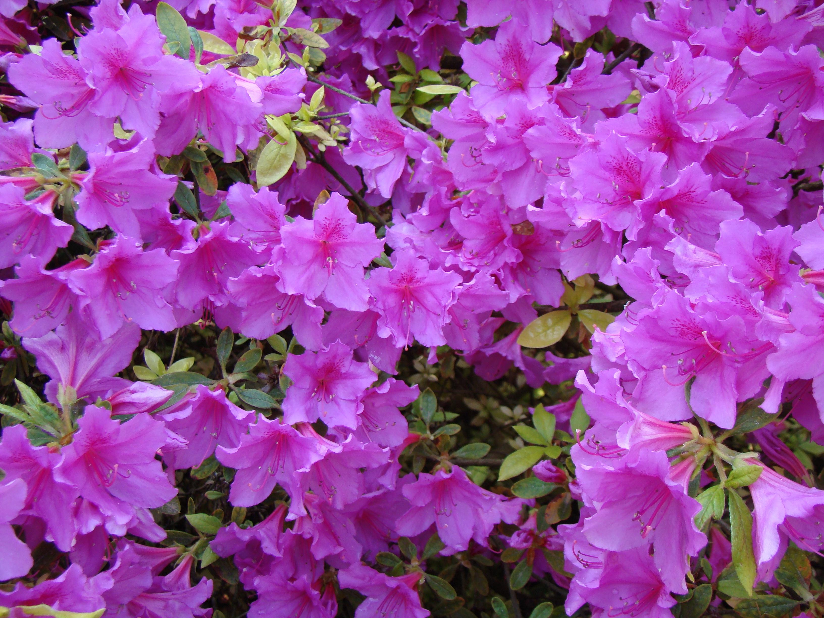 Free Images Nature Flower Bloom Bush Park Garden Pink