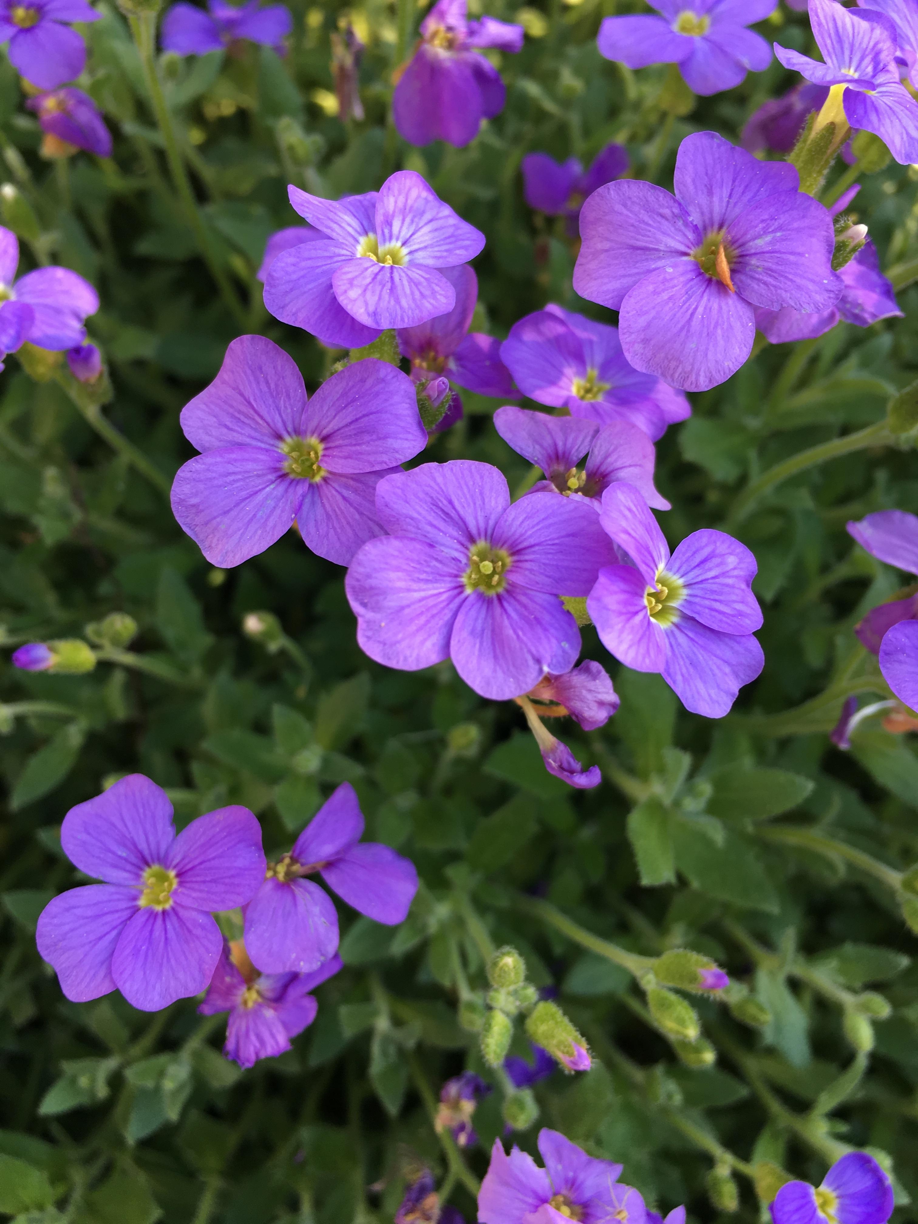 Images gratuites la nature fleur floraison t marguerite printemps jardin flore fleur - Image fleur violette gratuite ...