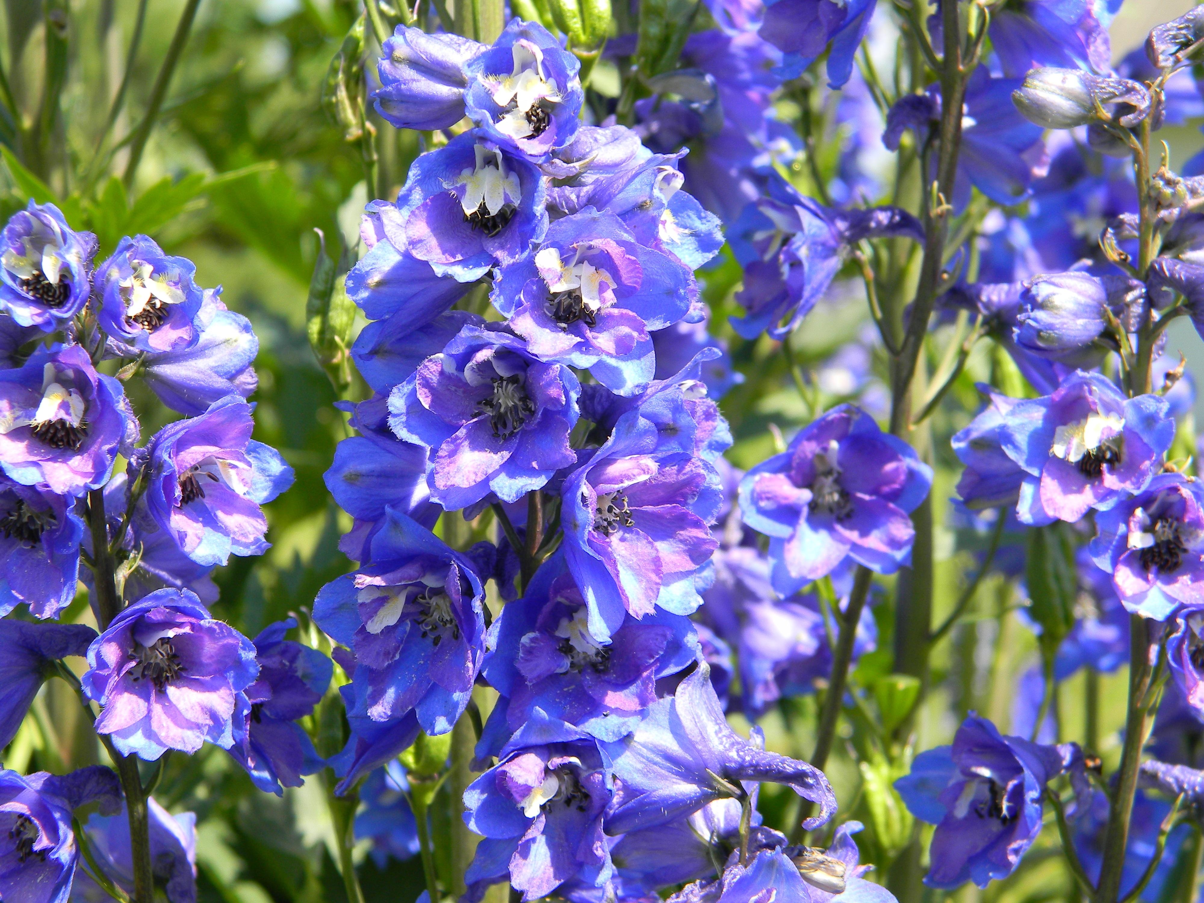 kostenlose foto : natur, blume, blühen, sommer-, grün, kraut, blau ... - Garten Blumen Blau