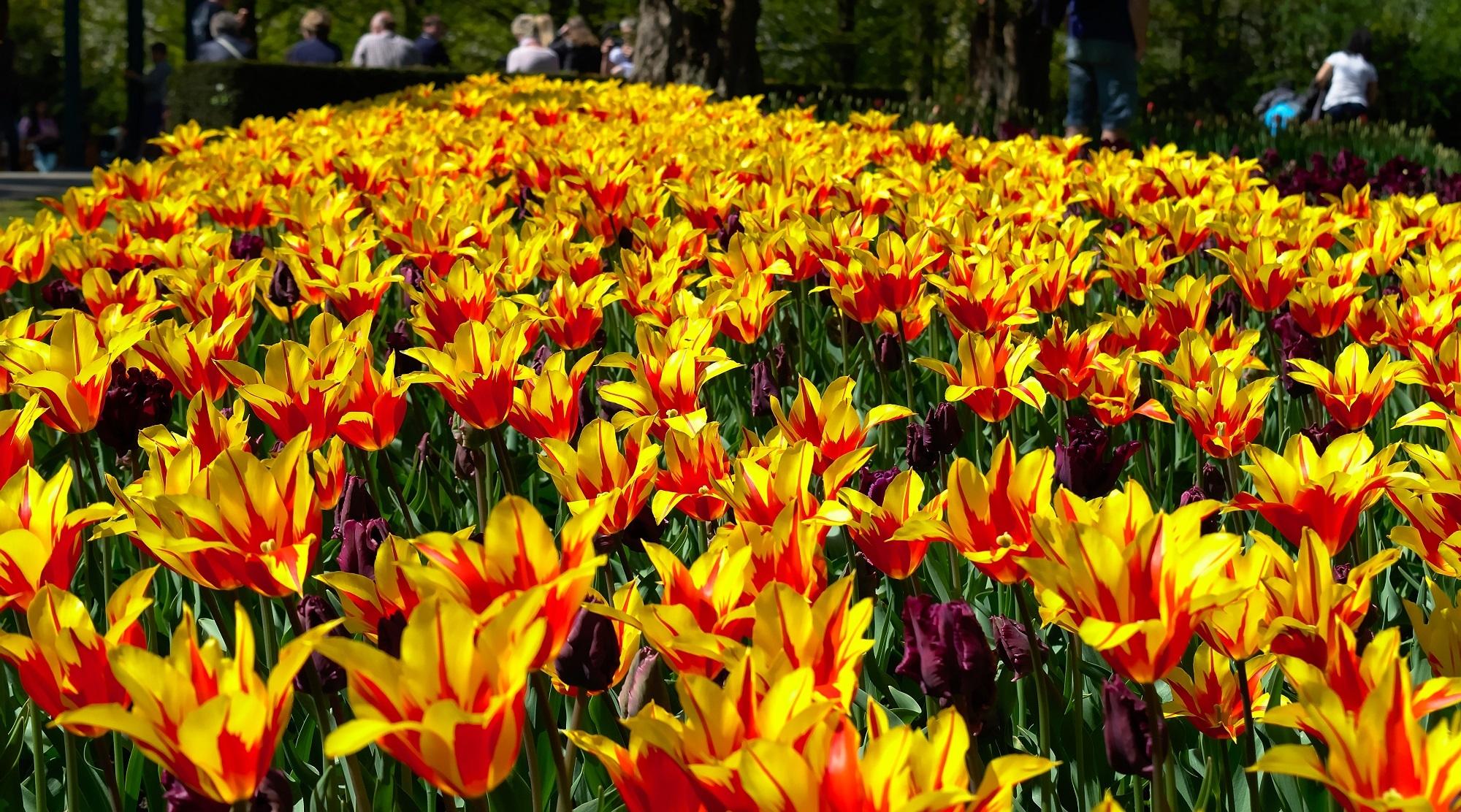 Фото большие поля лилий