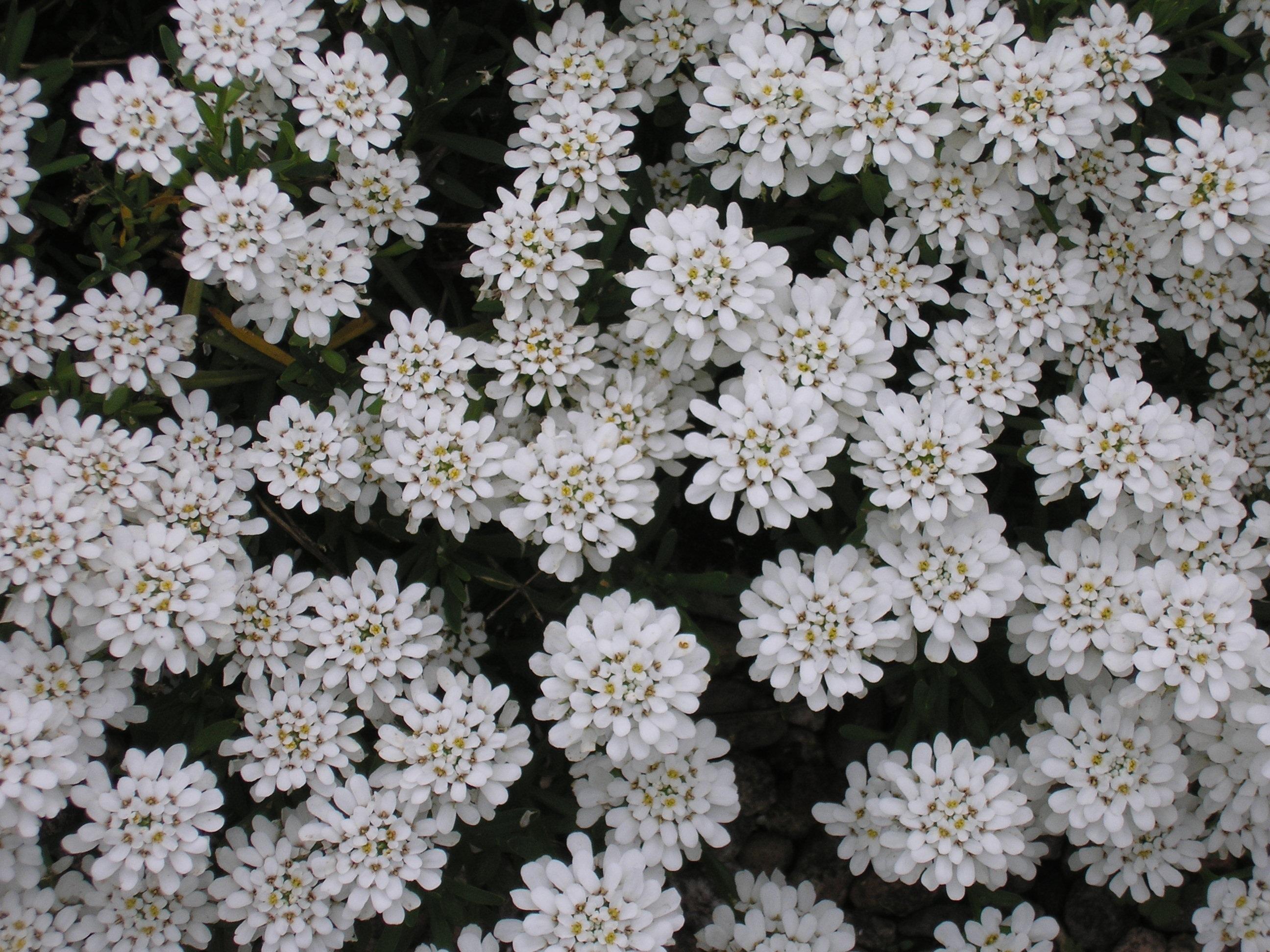 Free Images Nature Flower Garden Shrub Aster Yarrow White