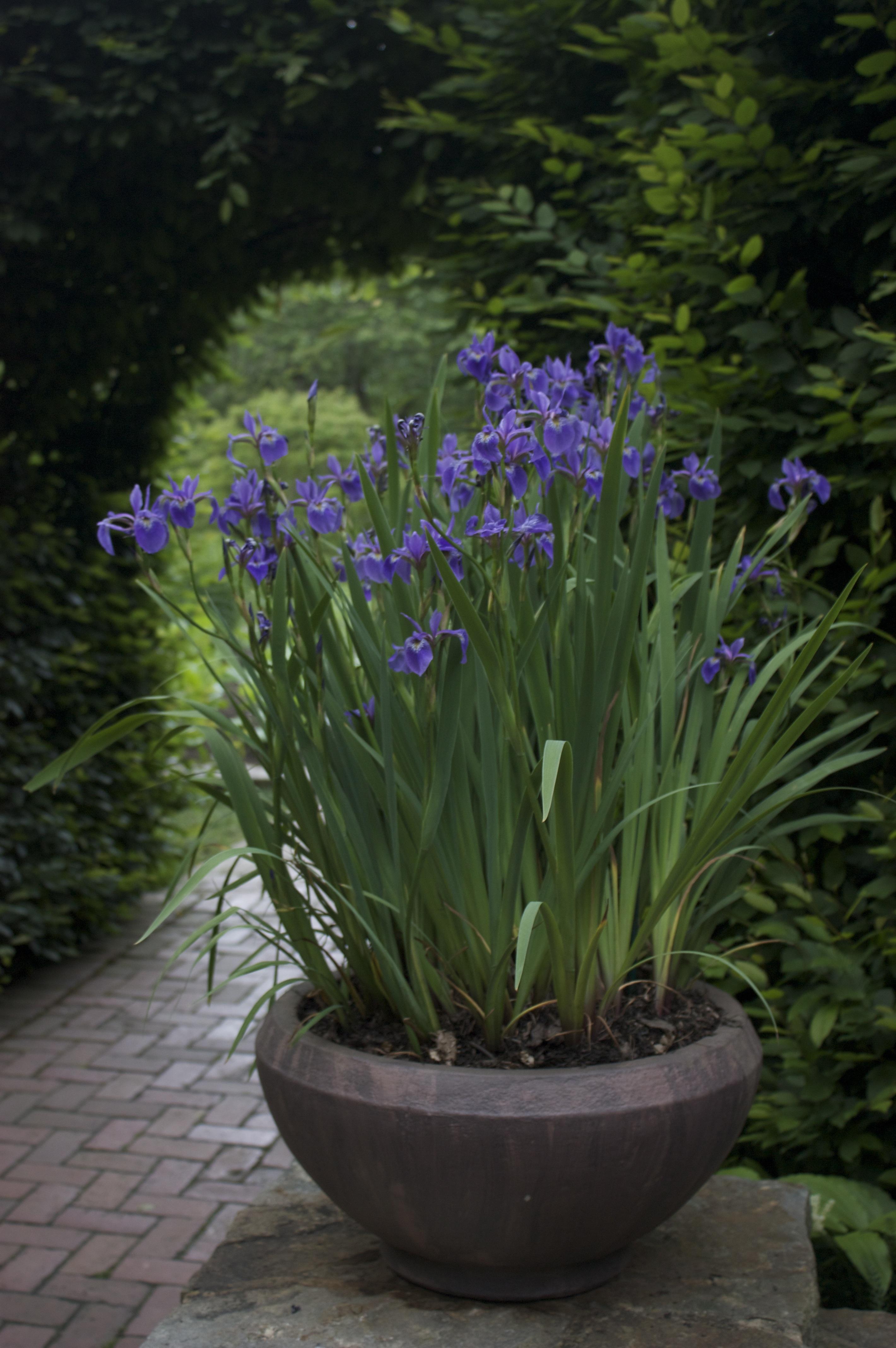 Lavanda cuidados maceta cheap tu jardin con flores que - Cuidados lavanda en maceta ...