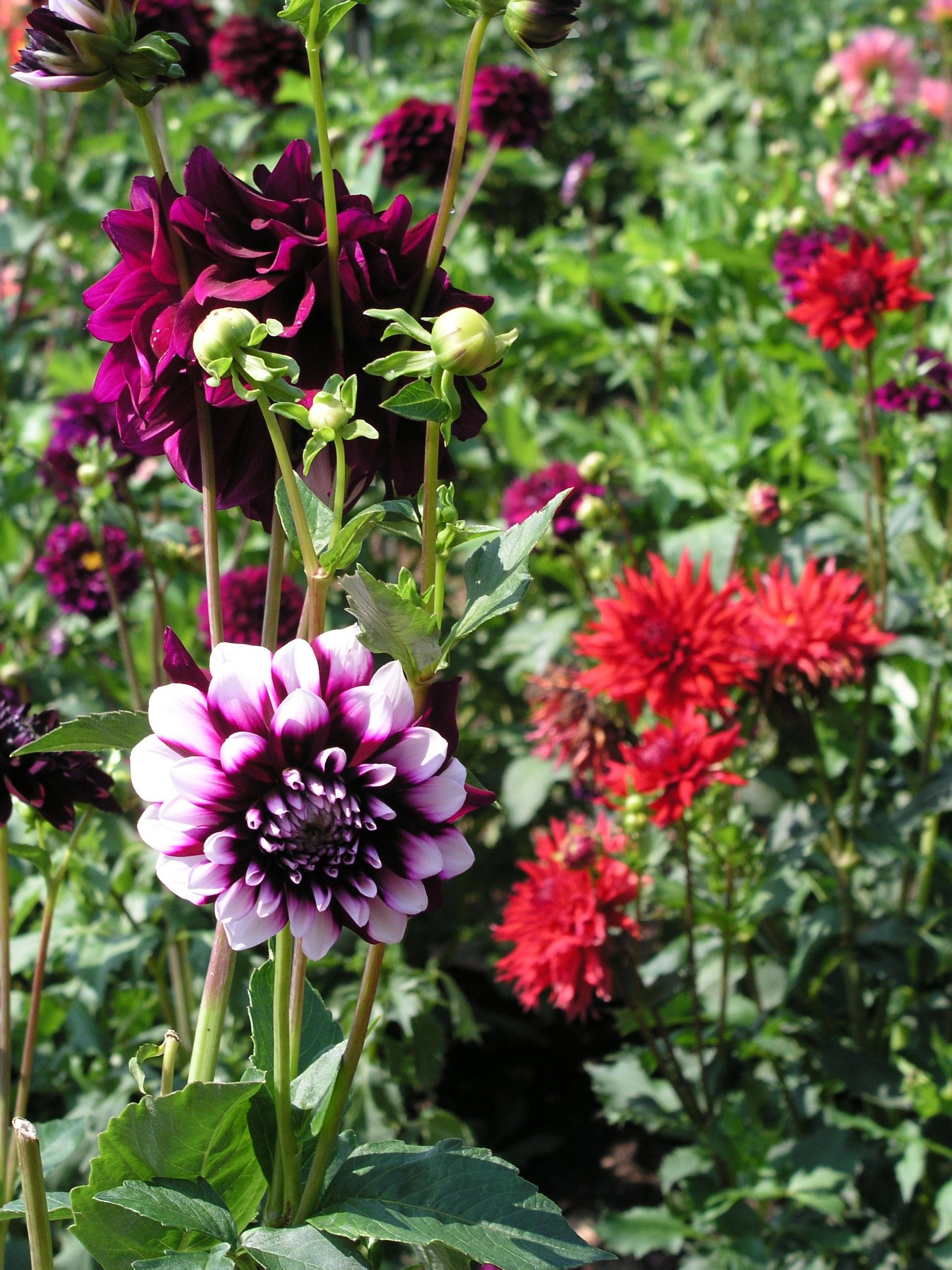 images gratuites : la nature, fleur, herbe, botanique, rose, flore
