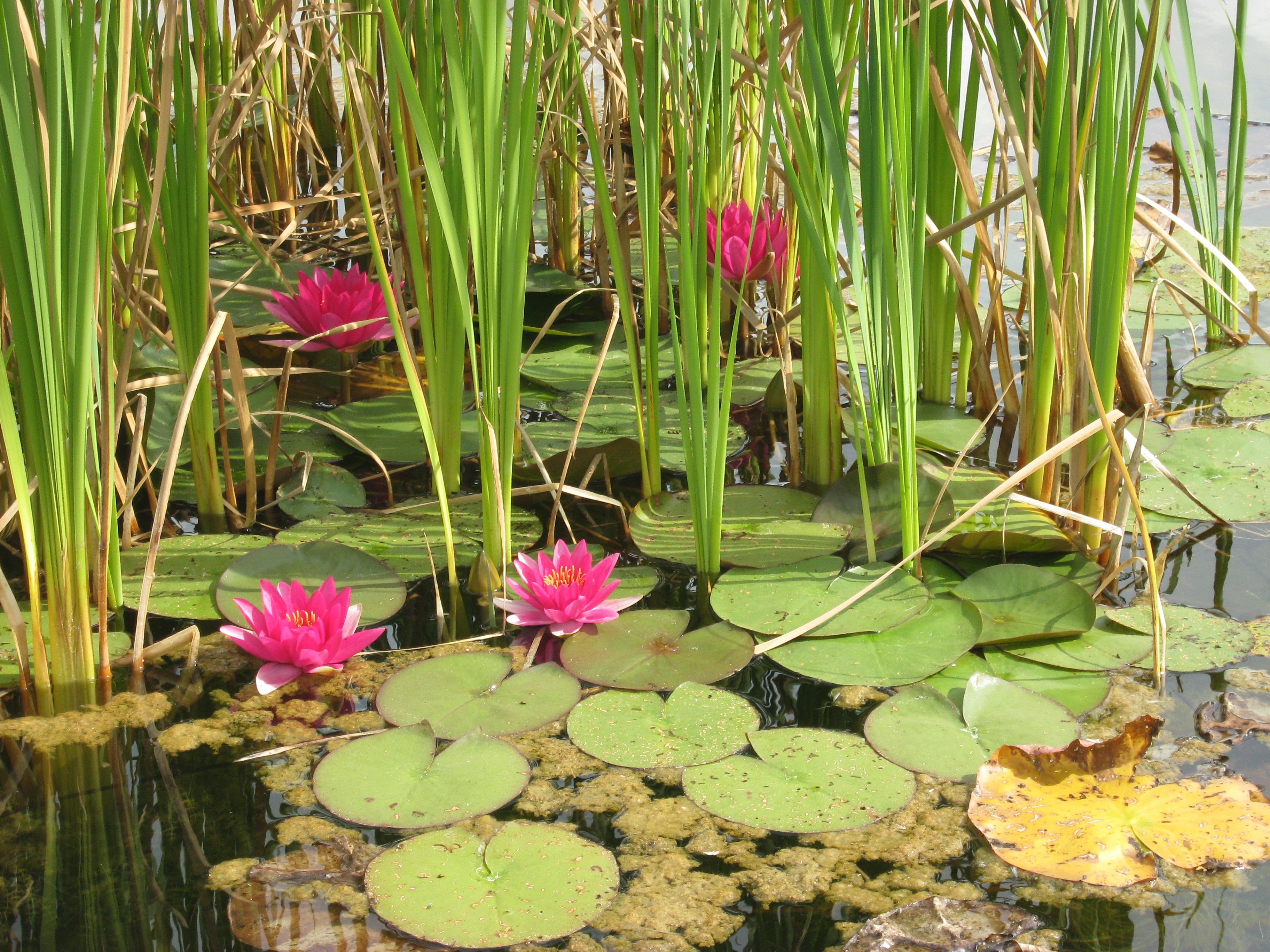 надо водные растения названия губы