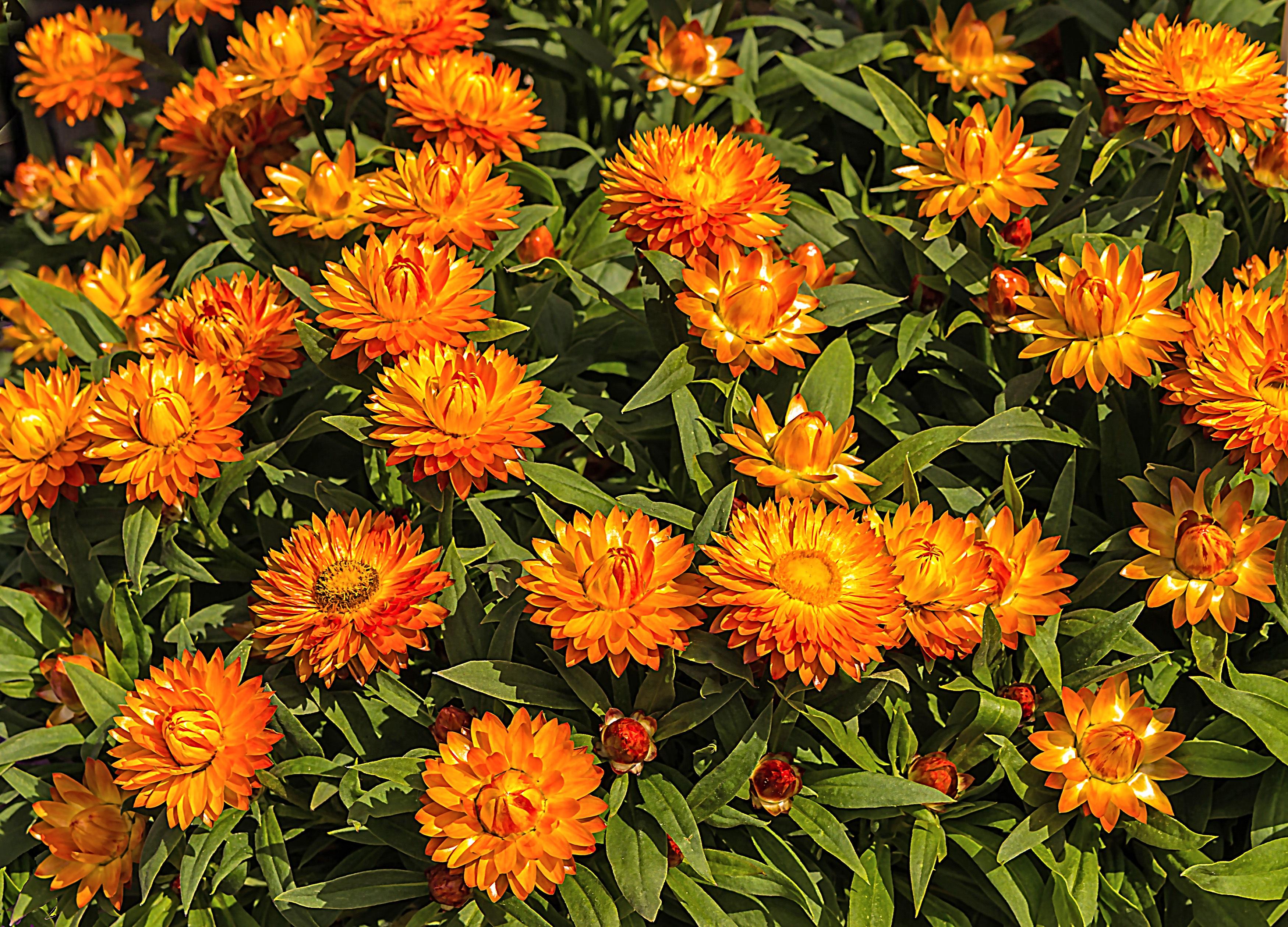 Images gratuites la nature fleur orange printemps for Plante orange