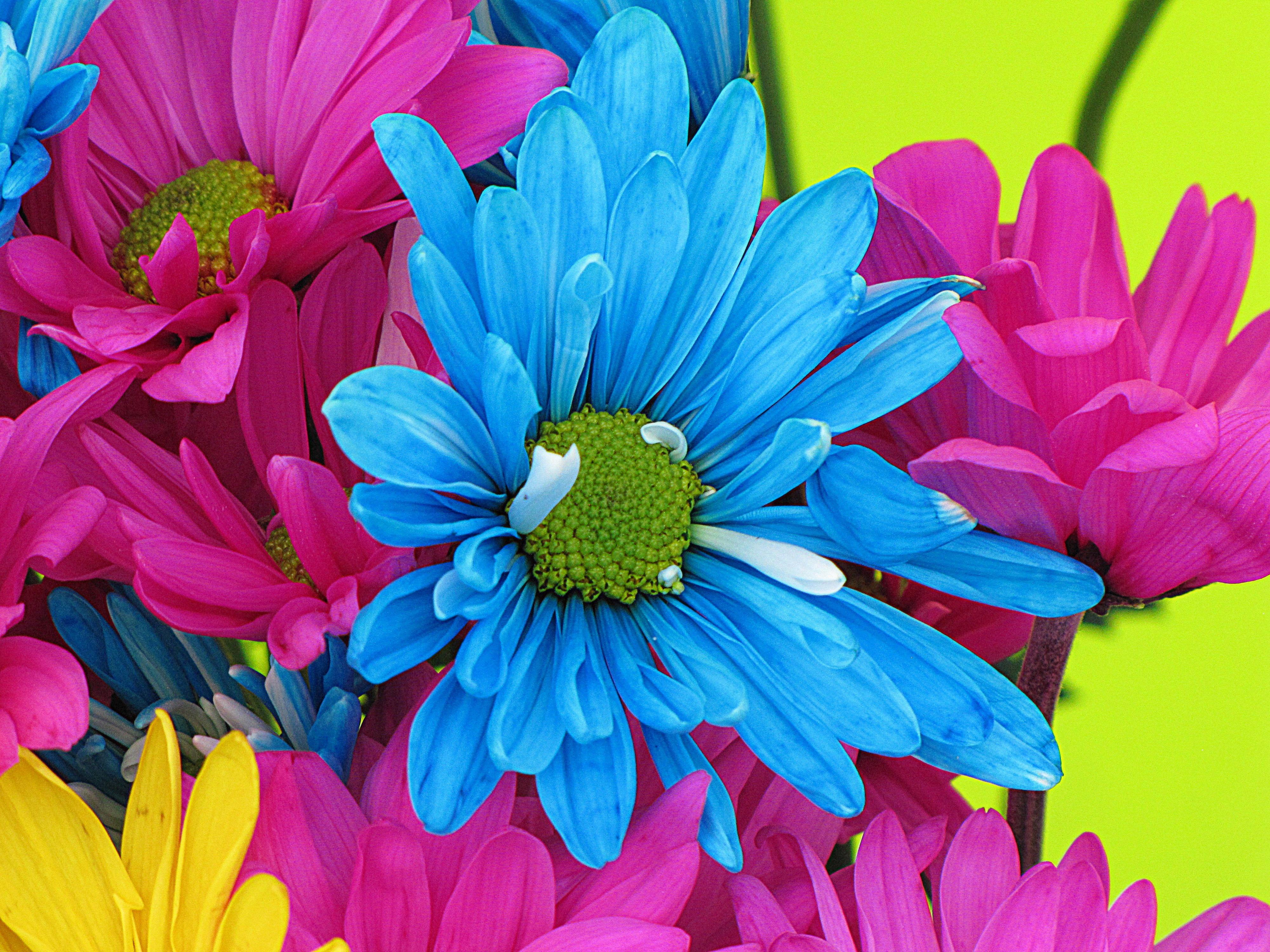 Free Images Nature Petal Bloom Blue Colorful Pink Flora