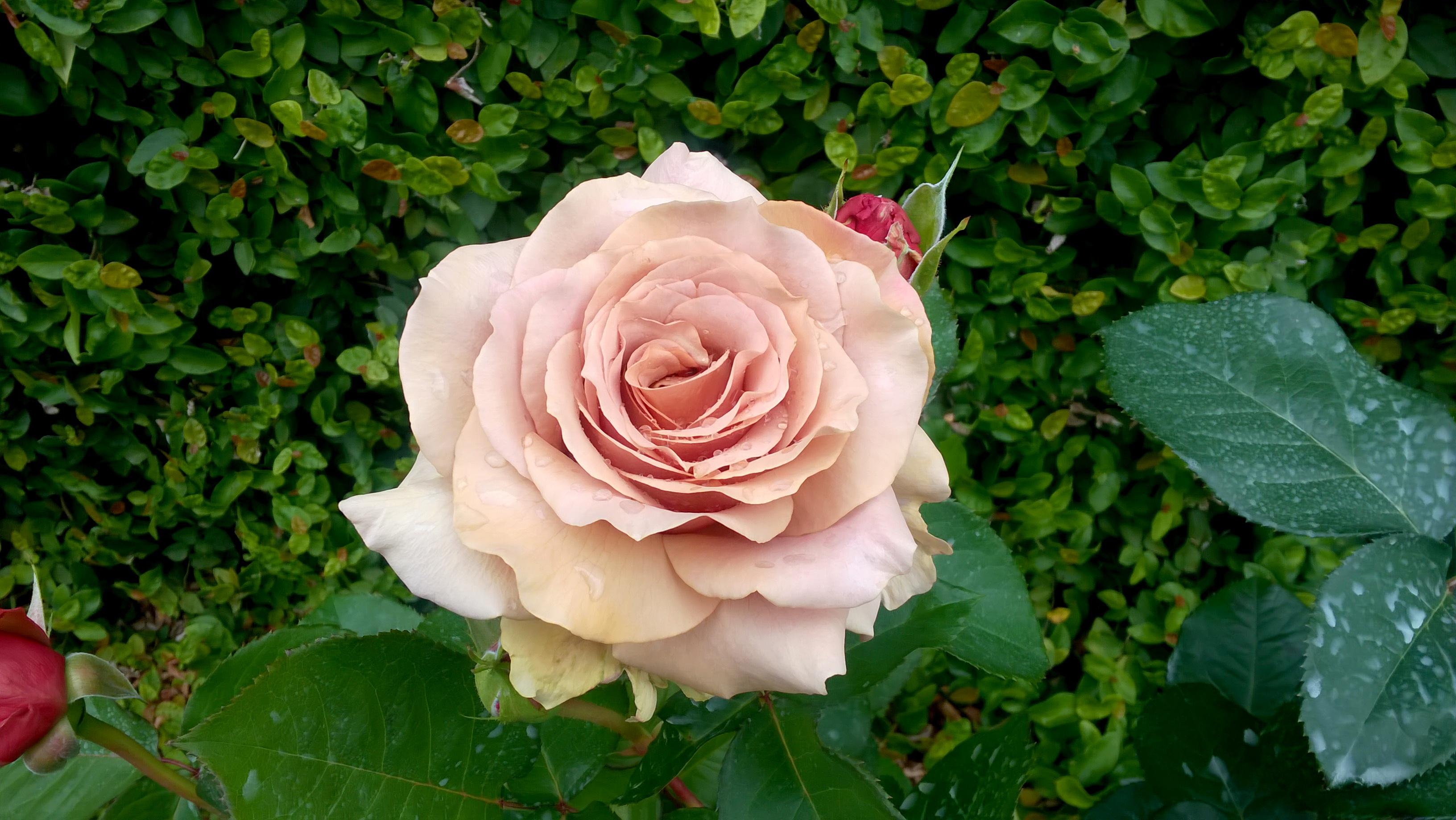Kostenlose foto : Natur, Blütenblatt, blühen, Geschenk, Grün, rot ...