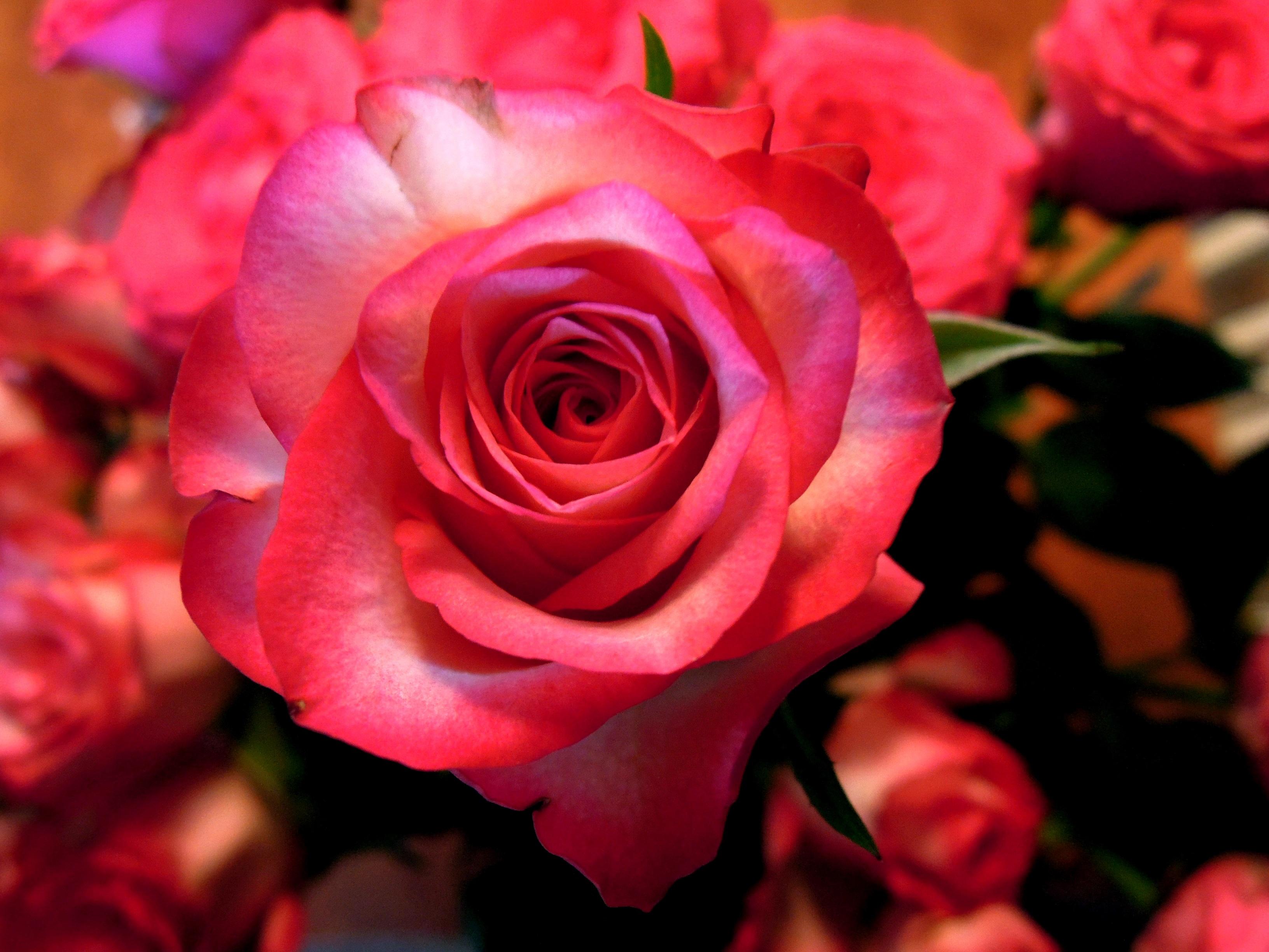 Images gratuites la nature p tale floraison rose fleur rouge floribunda - Plante a fleurs roses ...