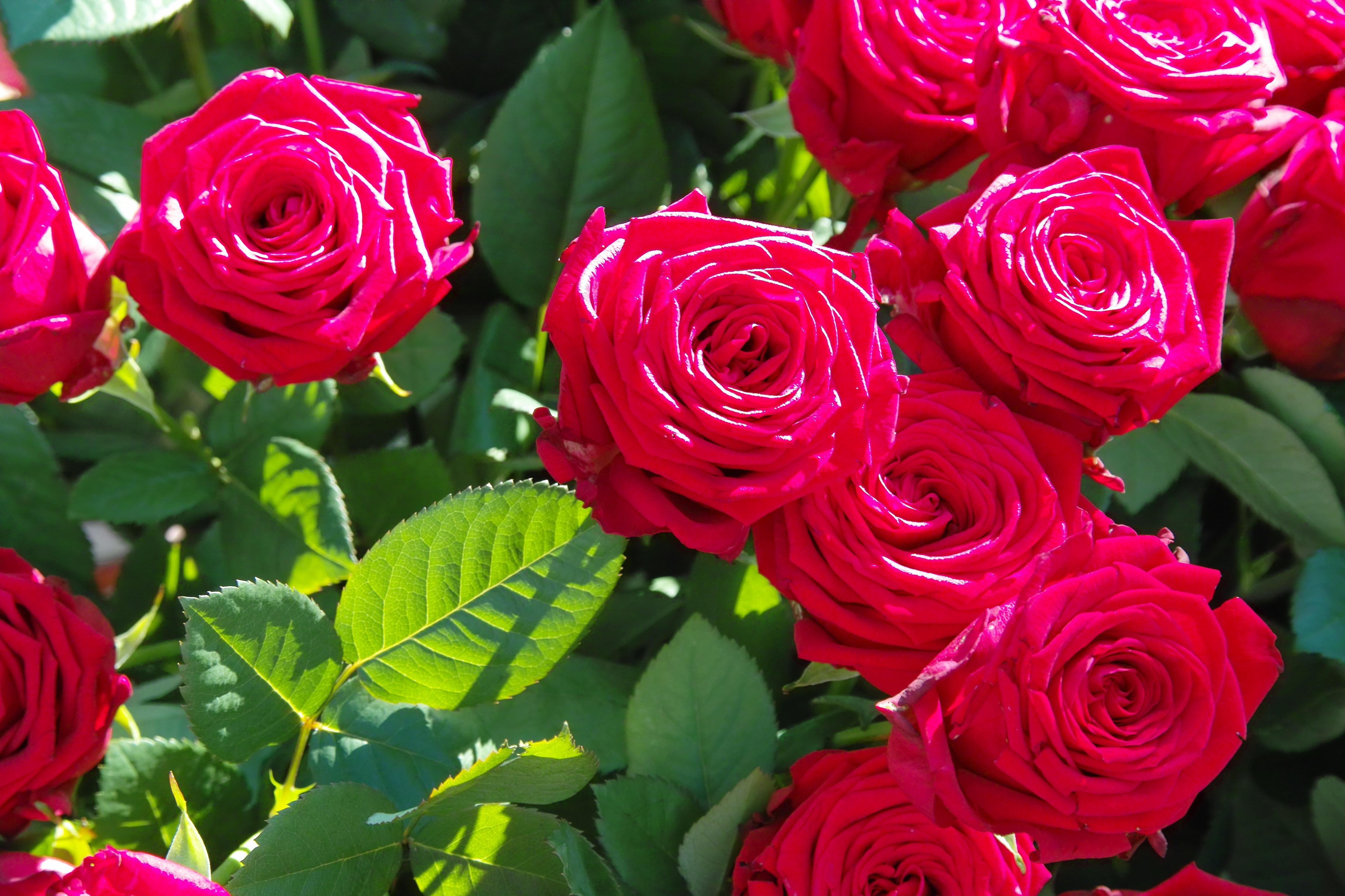 картинки на экран цветы розы нее