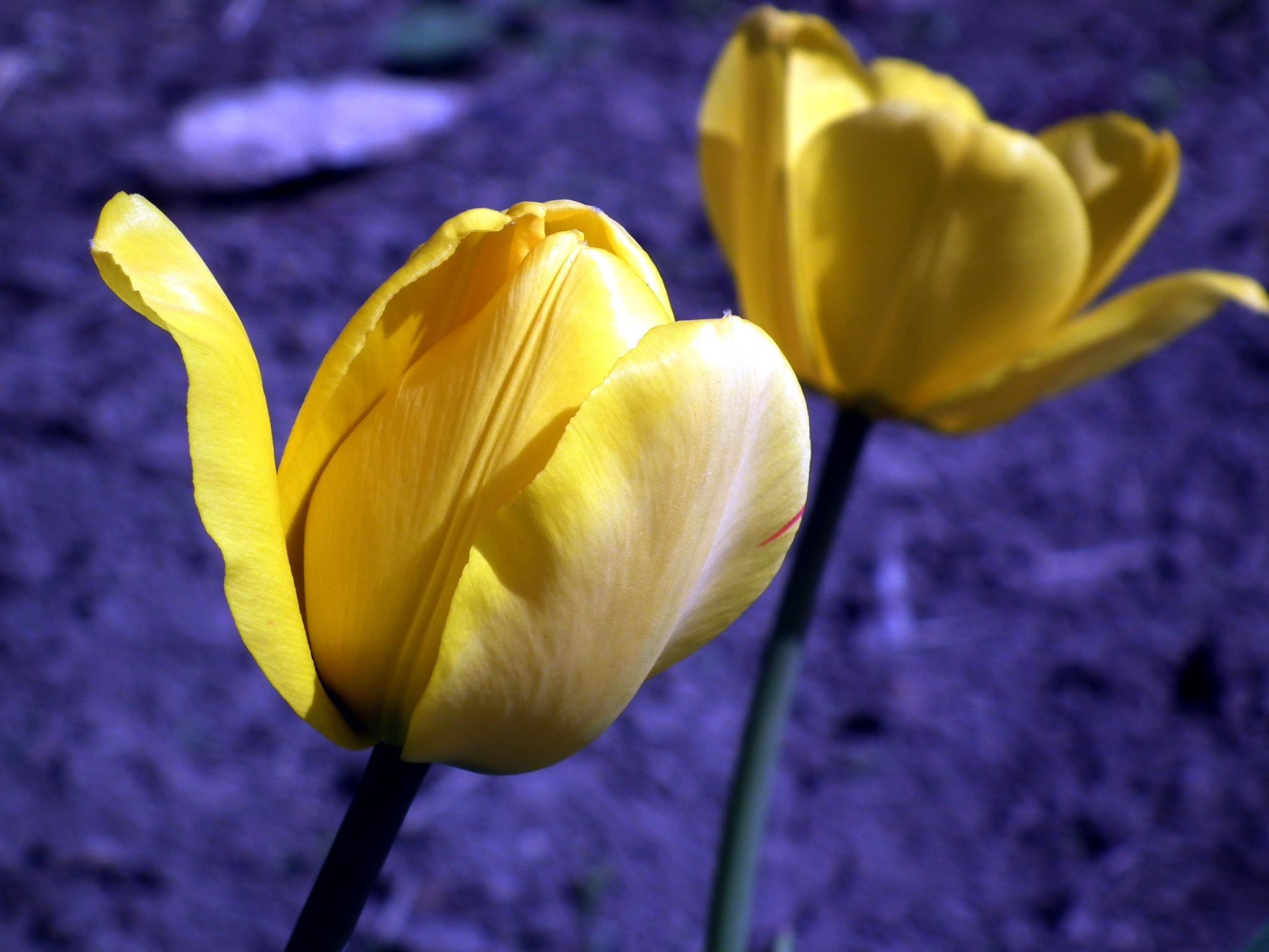 Free nature petal bloom tulip blue flora petals