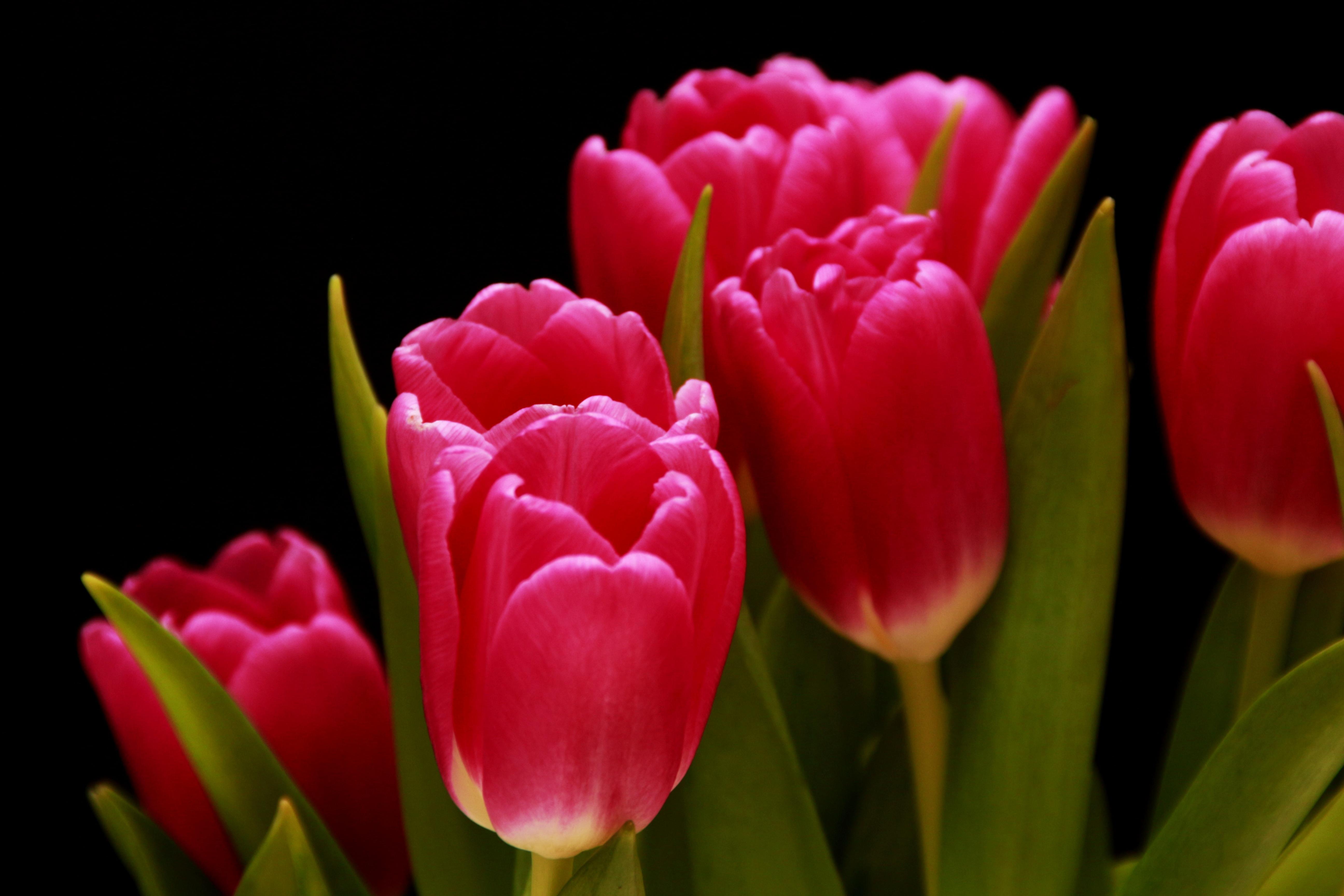 kostenlose foto natur blume bl tenblatt bl hen tulpe fr hling rot rosa schlie en. Black Bedroom Furniture Sets. Home Design Ideas
