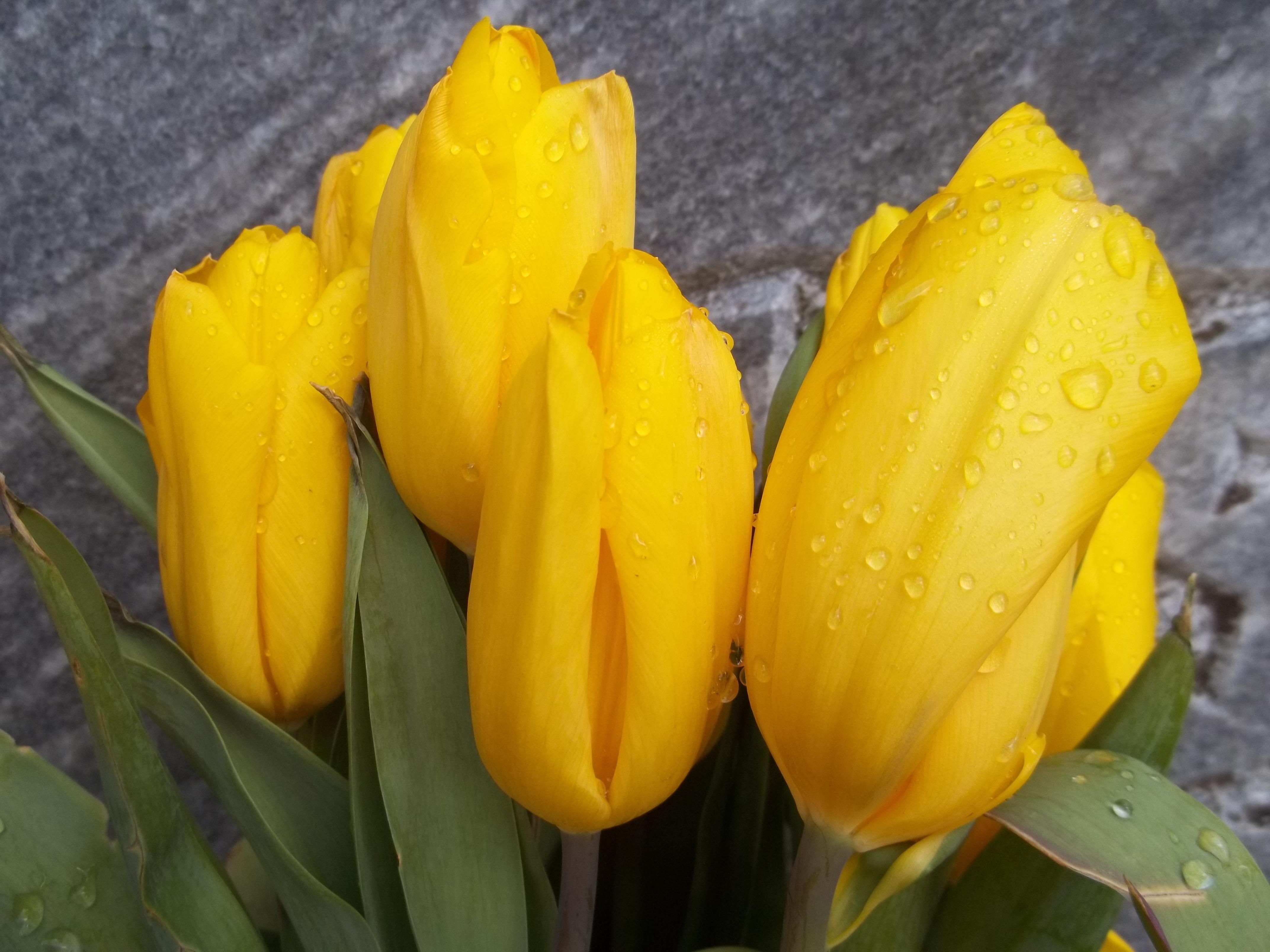 Виртуальные открытки тюльпаны могу