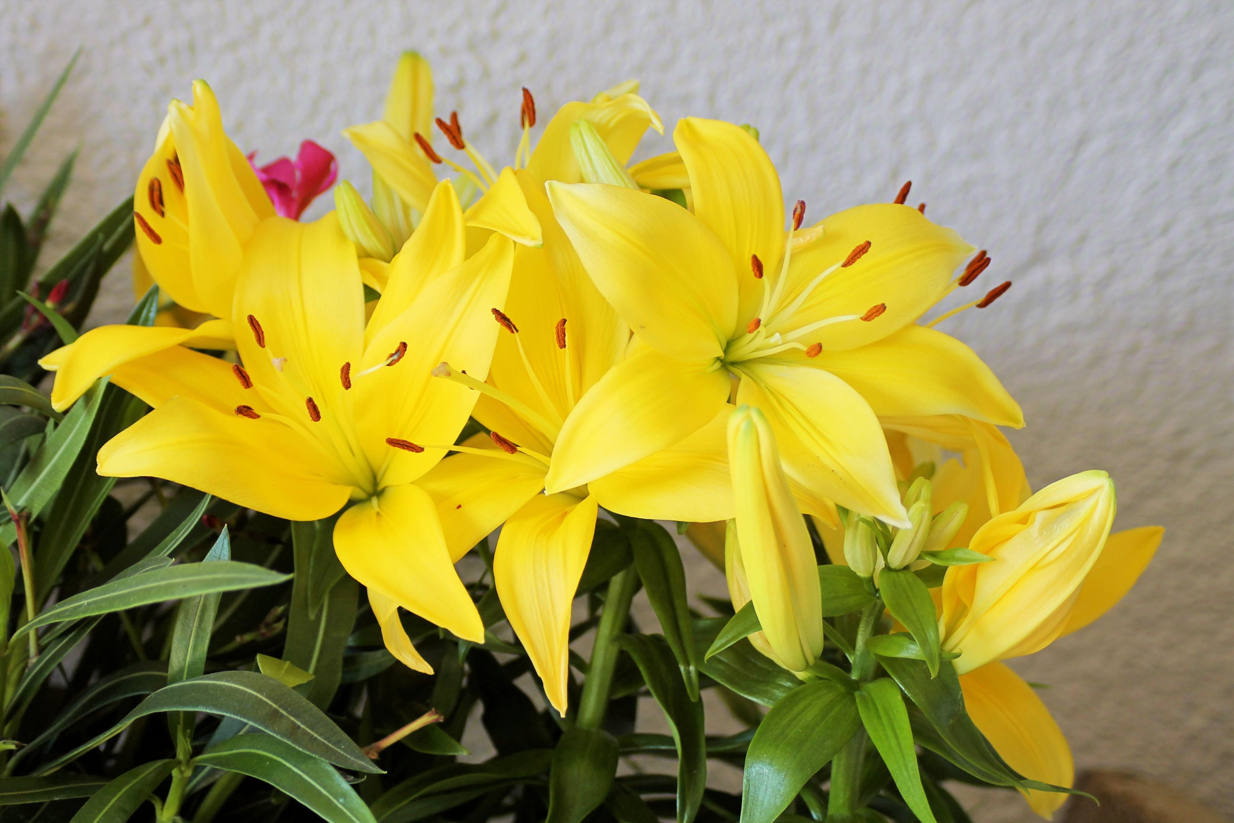 images gratuites la nature fleur p tale floraison jaune jardin flore fleur sauvage. Black Bedroom Furniture Sets. Home Design Ideas