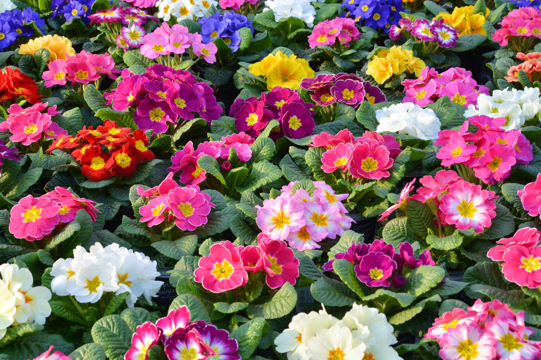 Images gratuites la nature fleur p tale botanique color jardin flore primula pens e - Image fleur violette gratuite ...