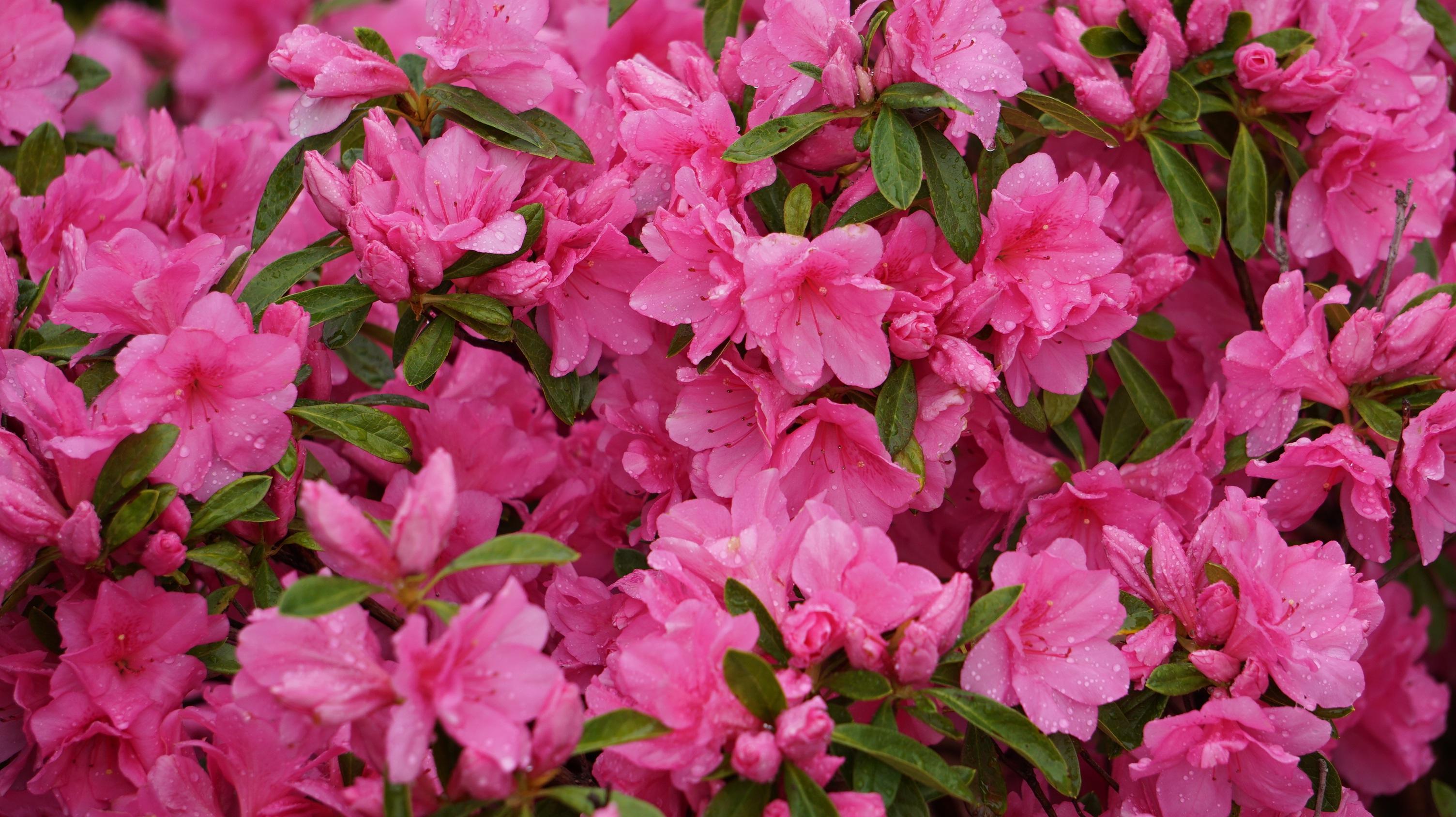 Free Images Nature Petal Bouquet Flora Shrub Rhododendron