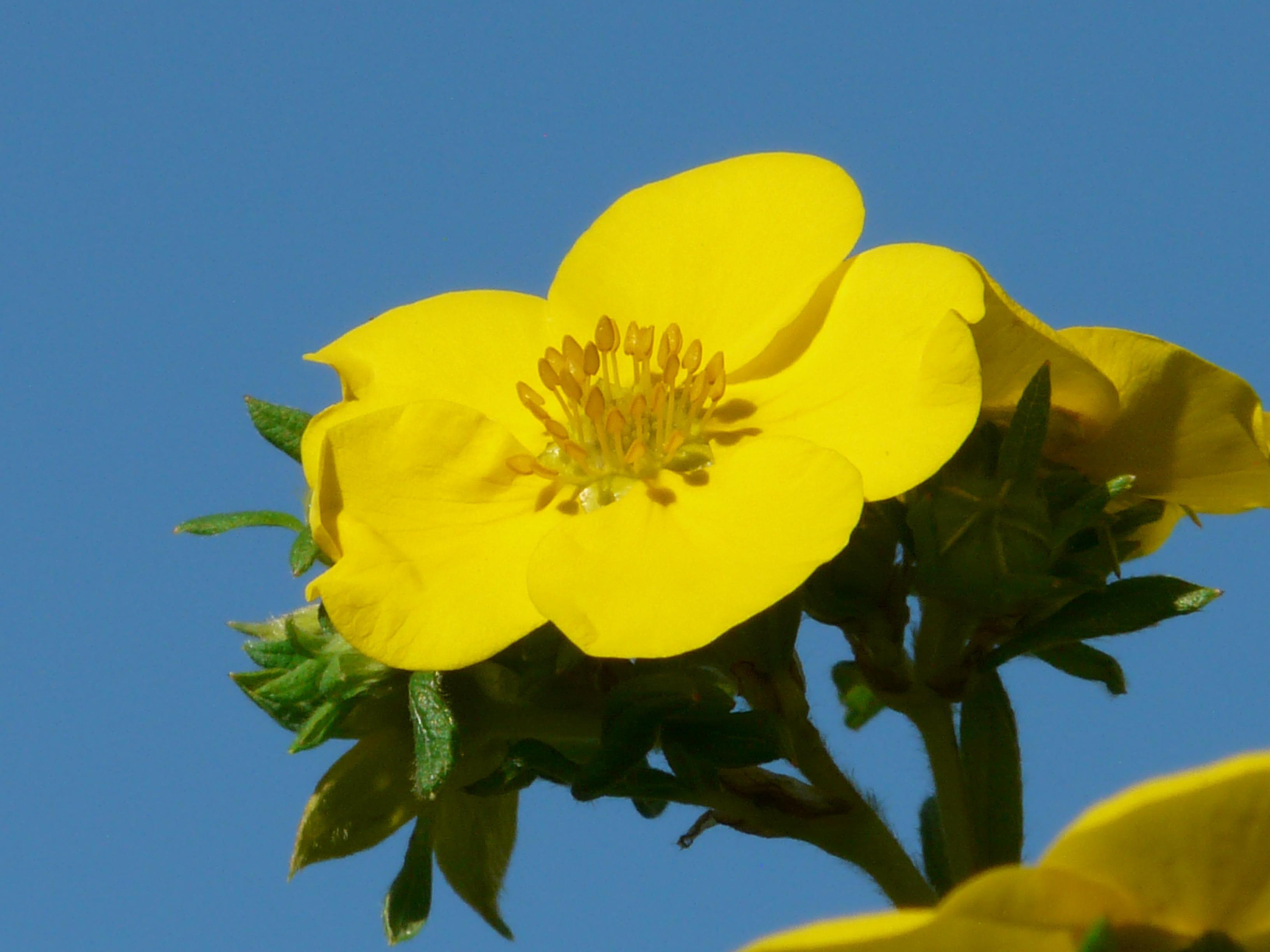Free Images Nature Flower Petal Close Flora Sunflower