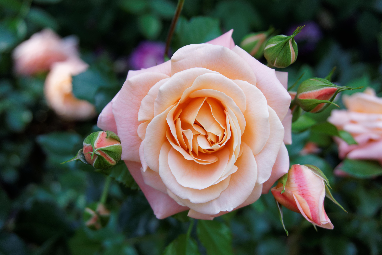 Садовые розы фото картинки