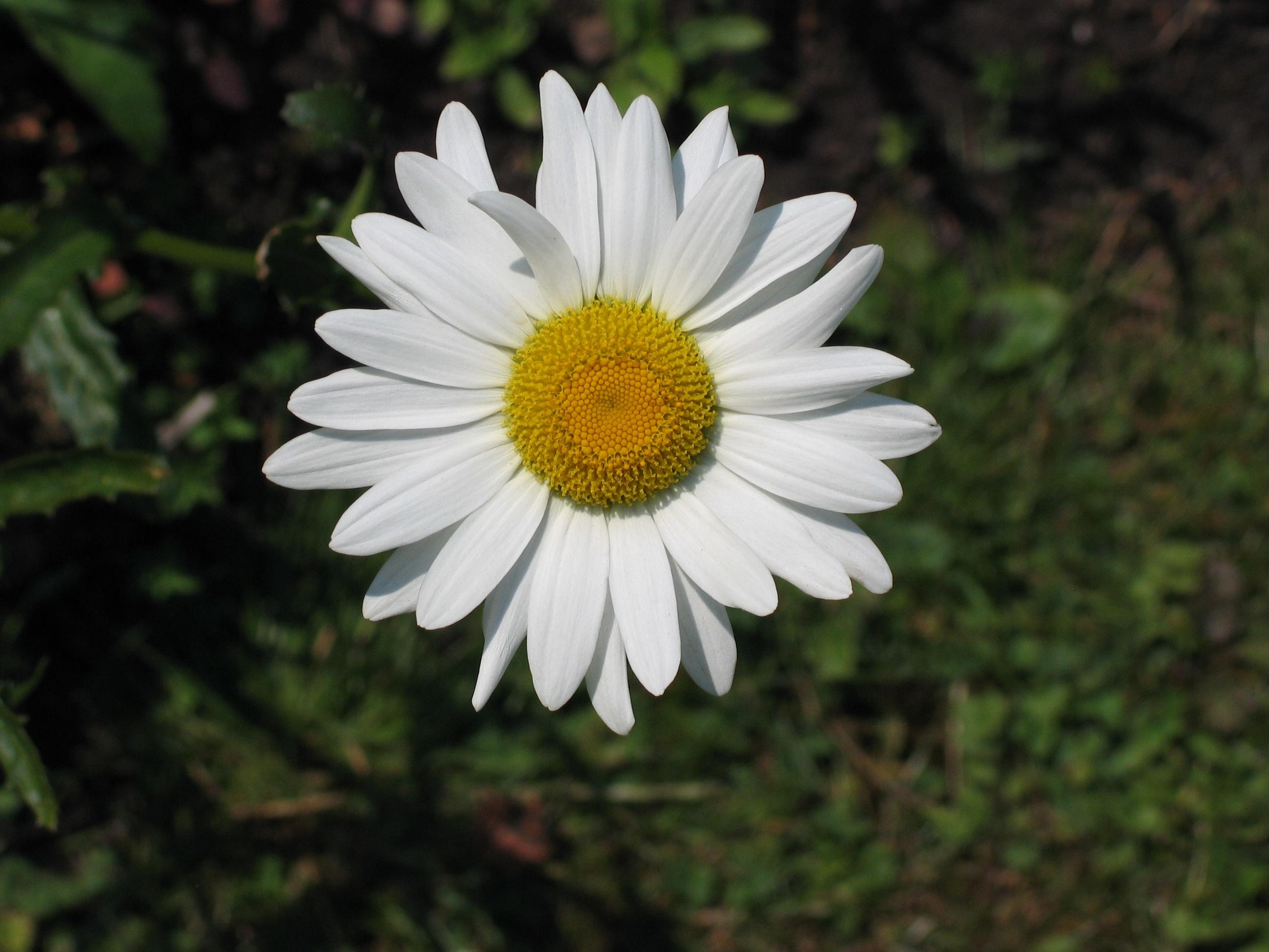 free images nature flower petal botany flora wildflower