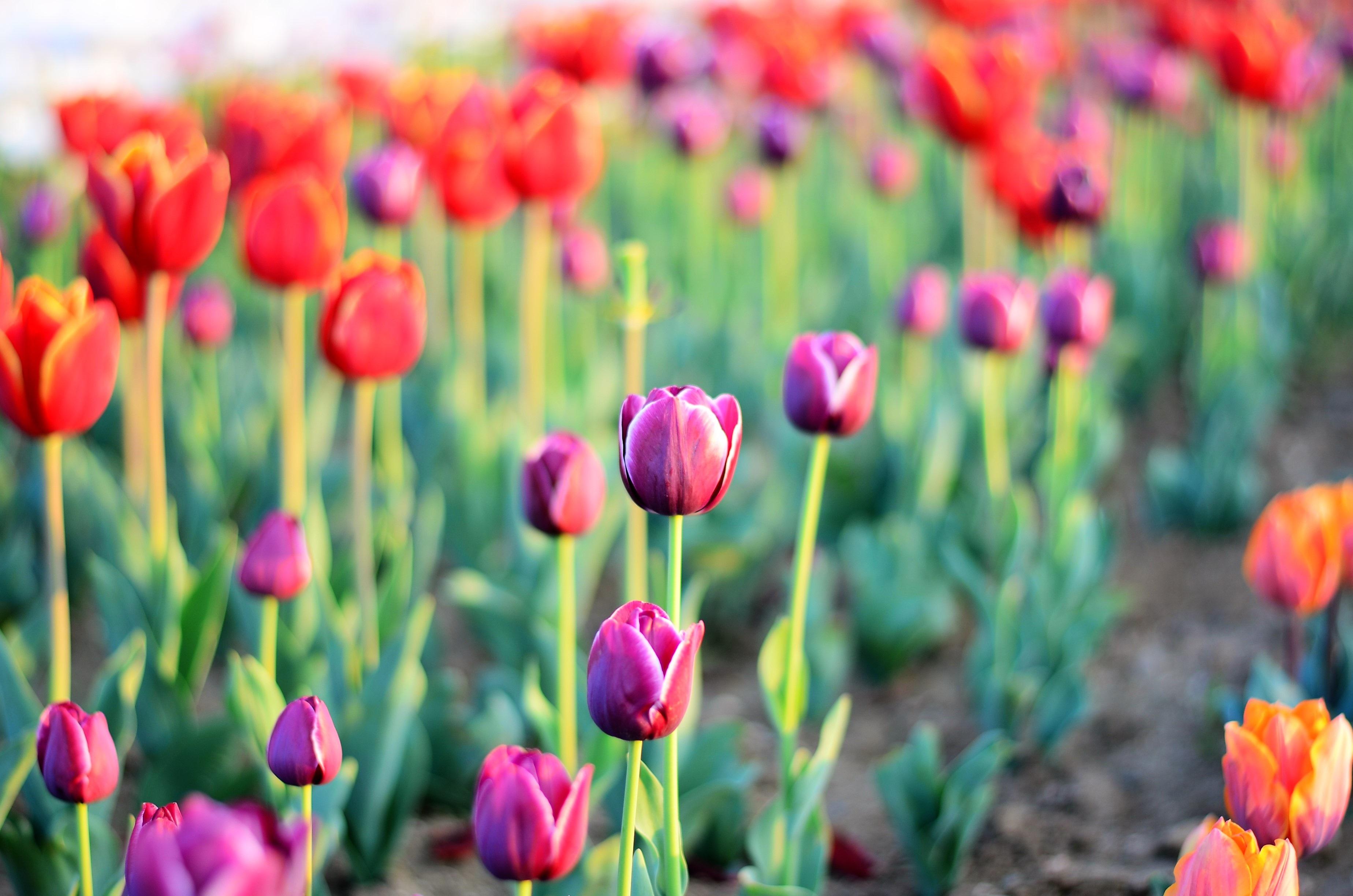 Poze Natură Plantă Floare Petală Margaretă Lalea
