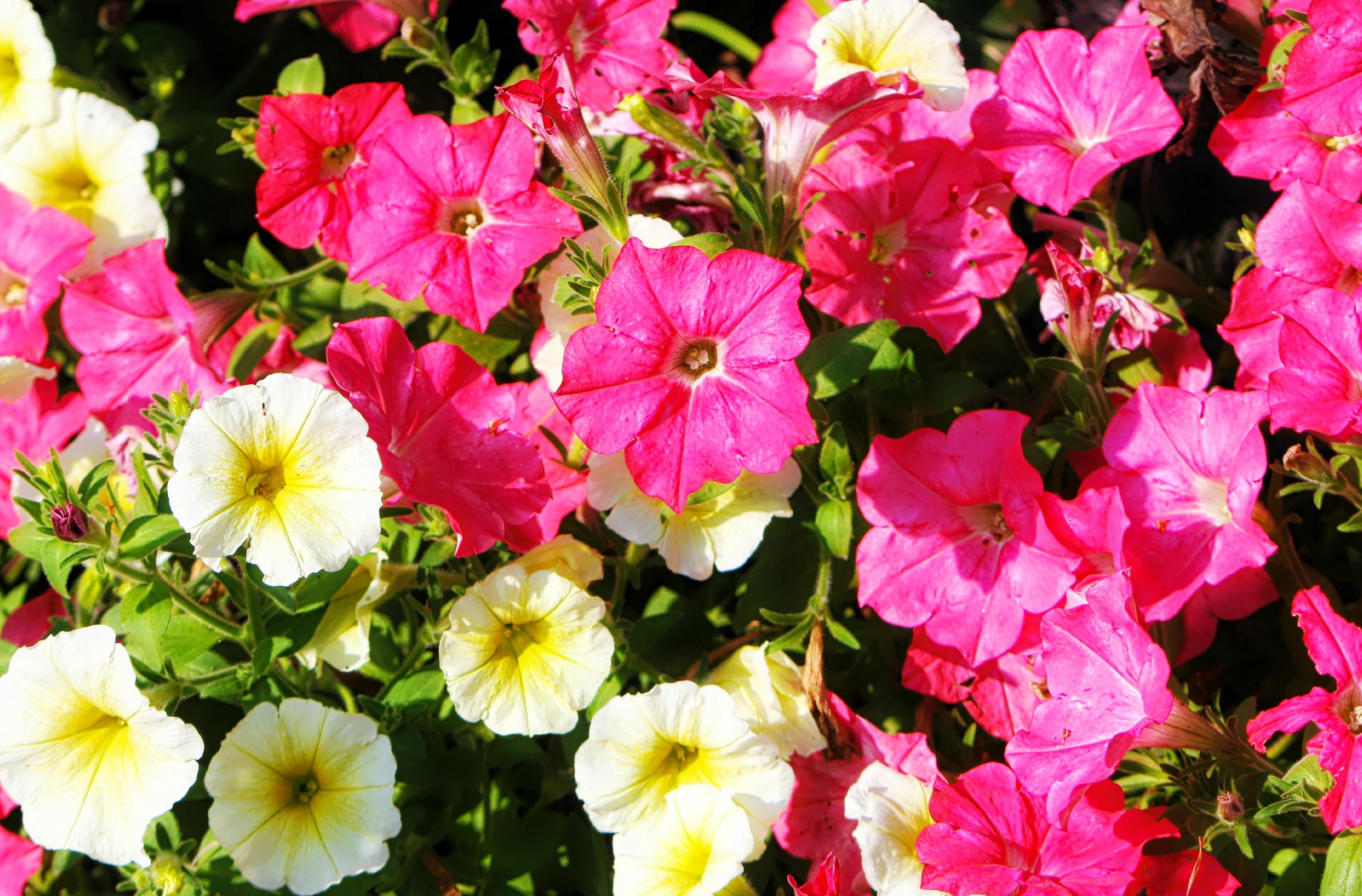 Петуния многолетняя цветов