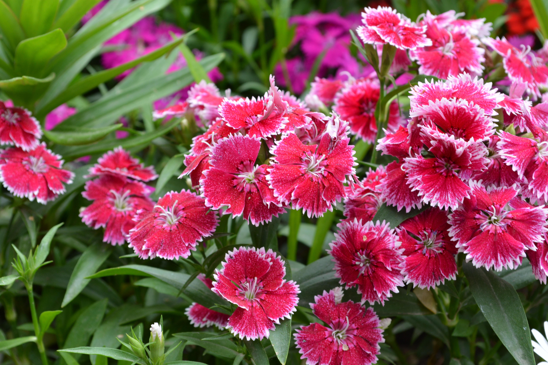Free Images Nature Petal Green Herb Botany Flora Carnation