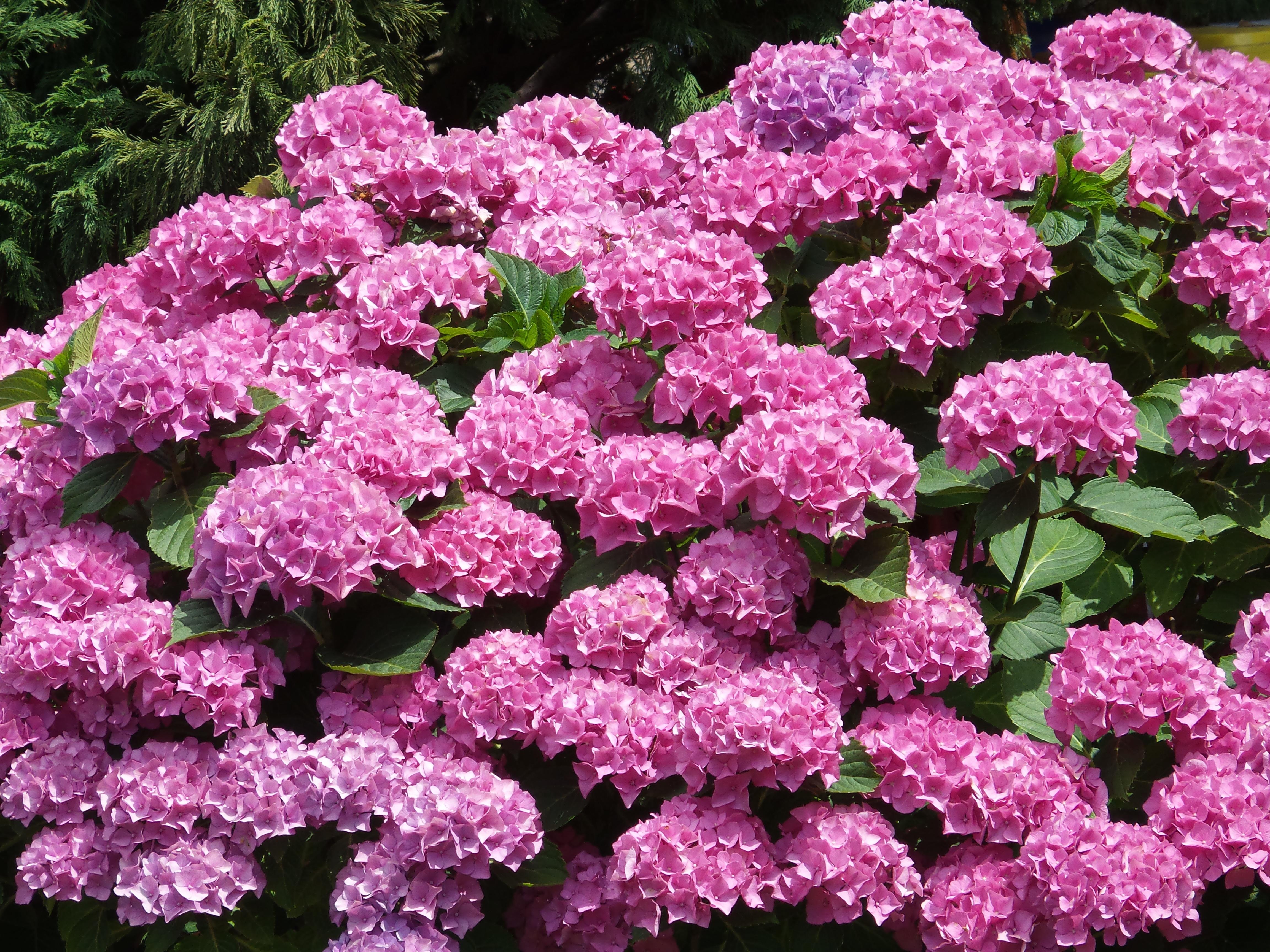 Free Images Nature Flower Petal Shrub Lilac Flowering Plant