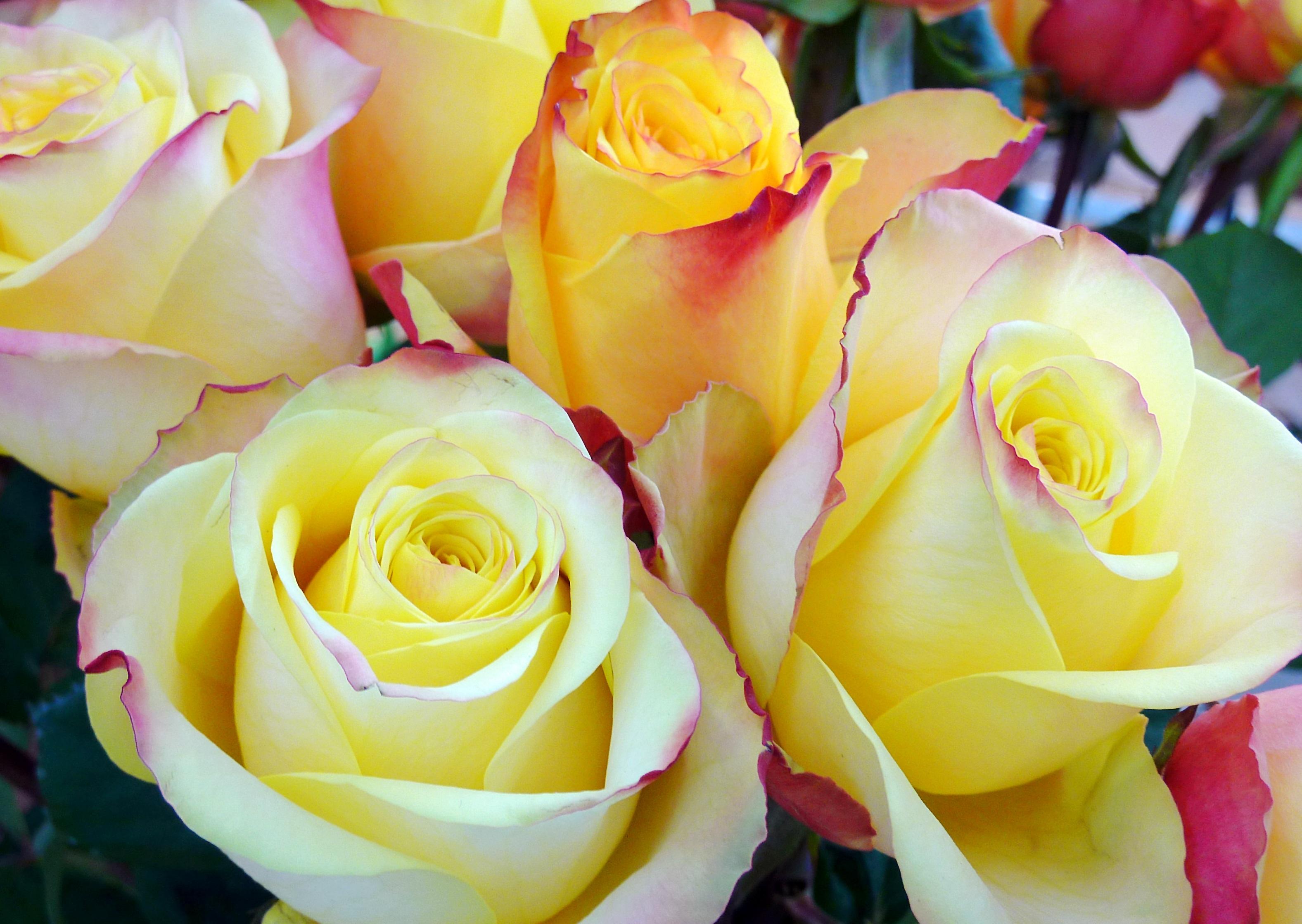Fotos Gratis Naturaleza Flor Petalo Amor Corazon Regalo Rosa
