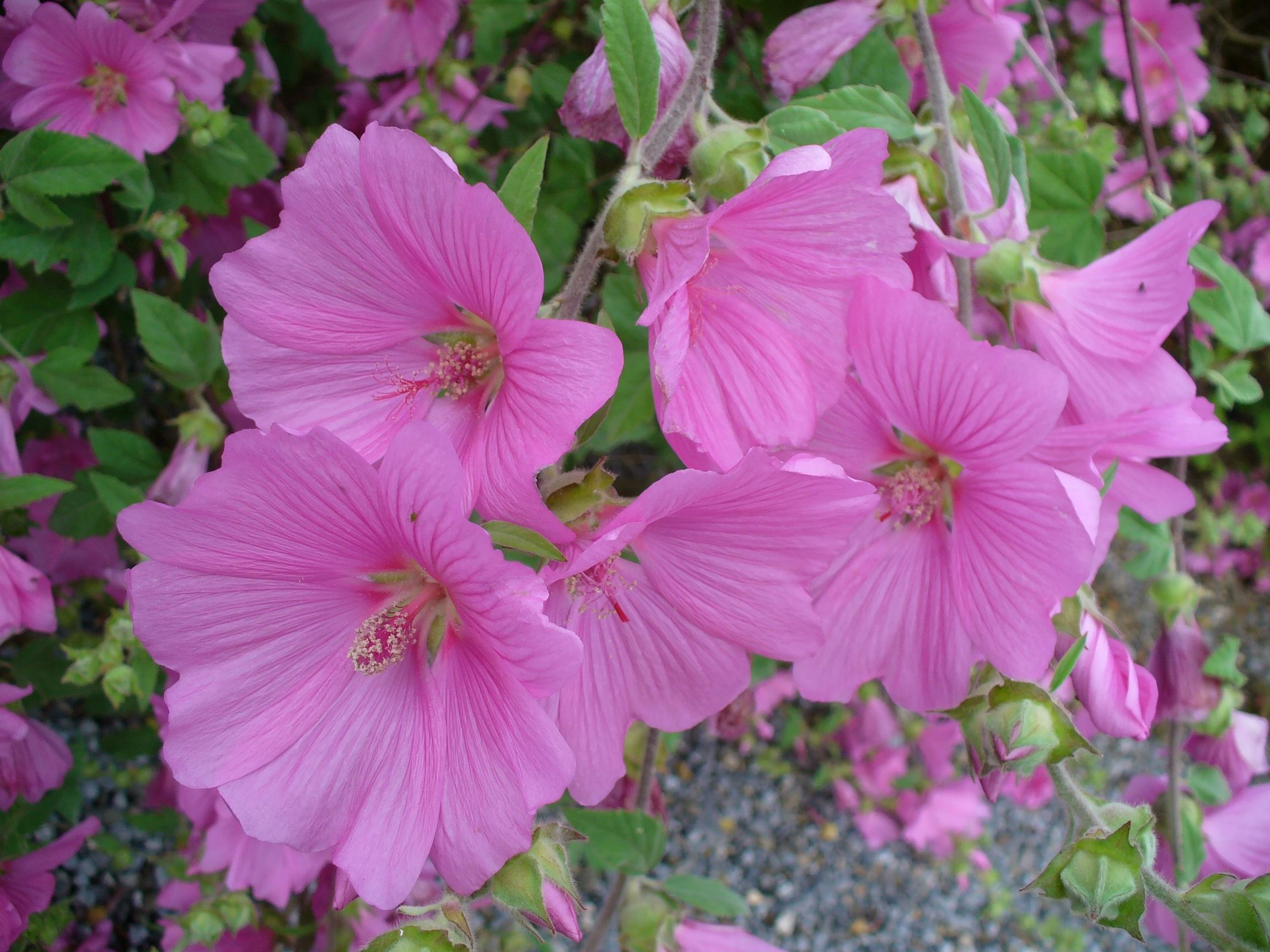 Free Images Nature Flower Petal Flora Malva Hollyhocks