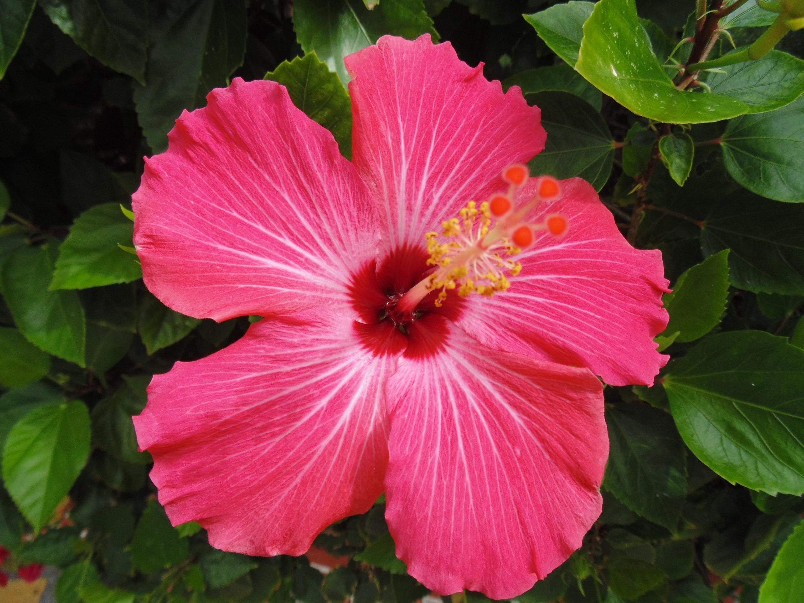 Free Images Nature Flower Petal Flora Shrub Malvales Pink