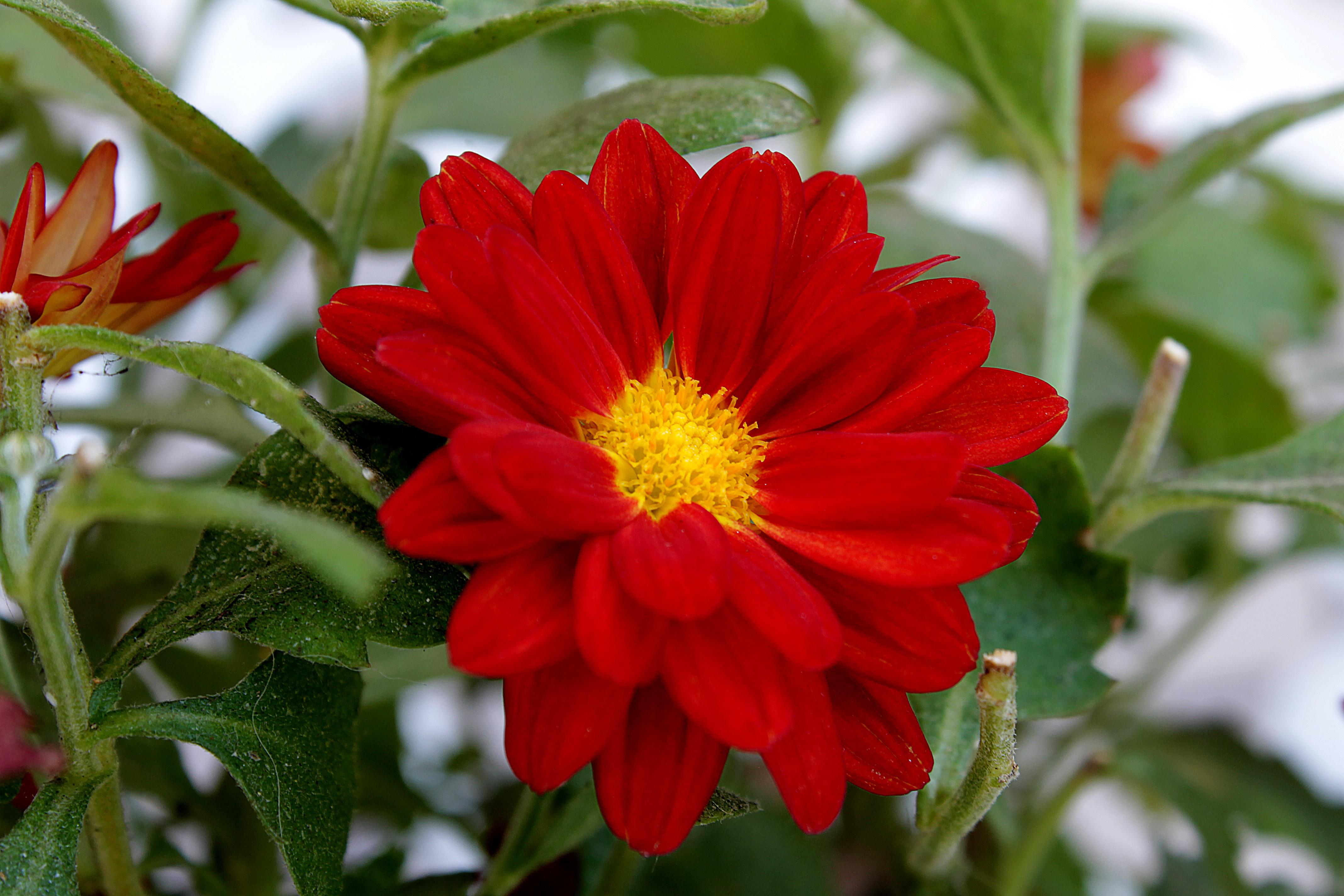 Free Images : nature, petal, botany, garden, flora, dahlia ...