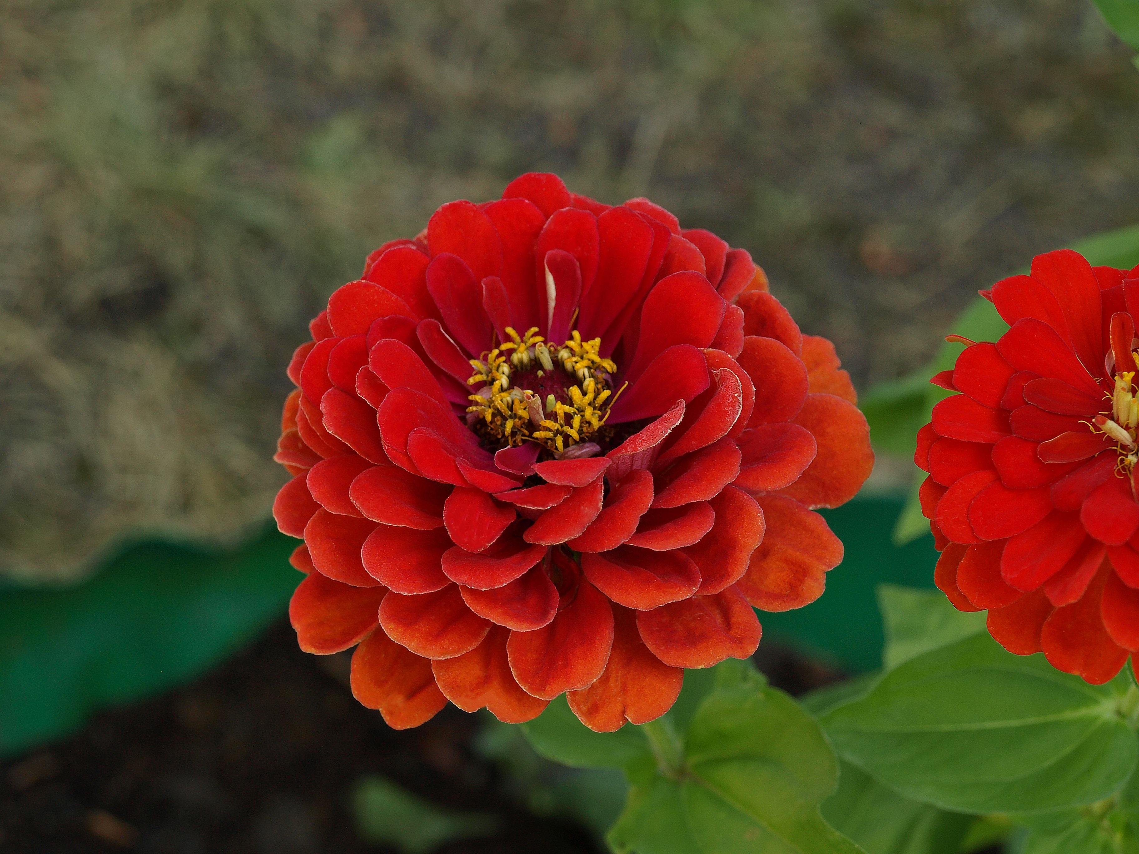 Fotos gratis naturaleza flor p talo rojo bot nica for Arbol rojo jardin