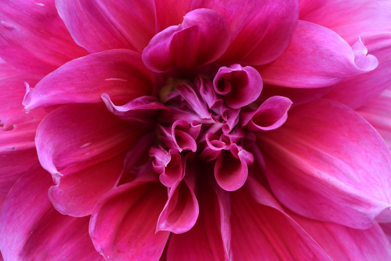 Free Images : nature, flower, petal, red, color, park, garden, pink ...
