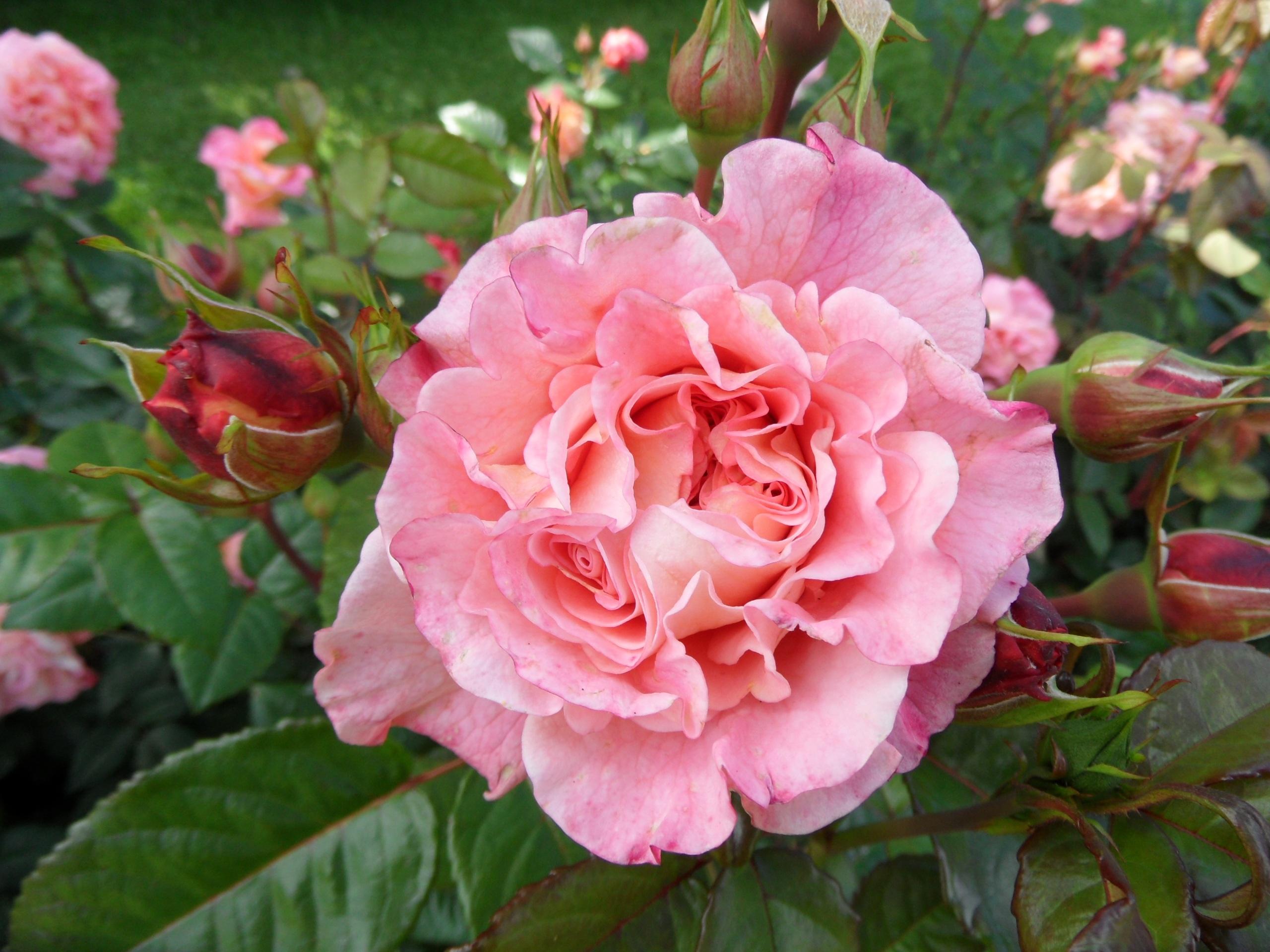 hình ảnh : thiên nhiên, thực vật, Cánh hoa, bông hồng, Hồng, Cây bụi, Floribunda, Tiếng Phần Lan, thực vật có hoa, Hoa hồng vườn, Gia đình tăng, Tampere, ...