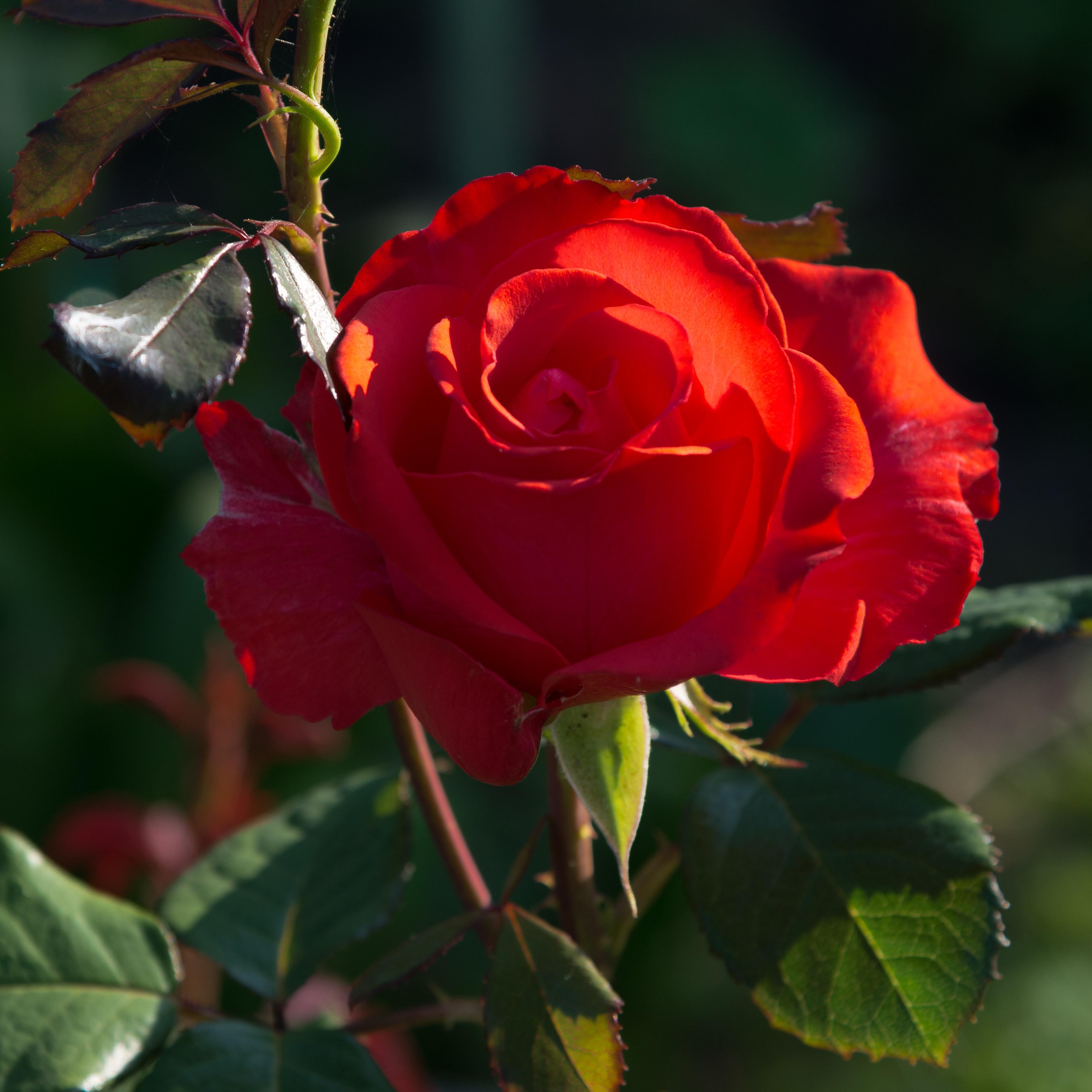 Muhteşem Güzellikte Güller Çok Güzel Güller Renkli Güller
