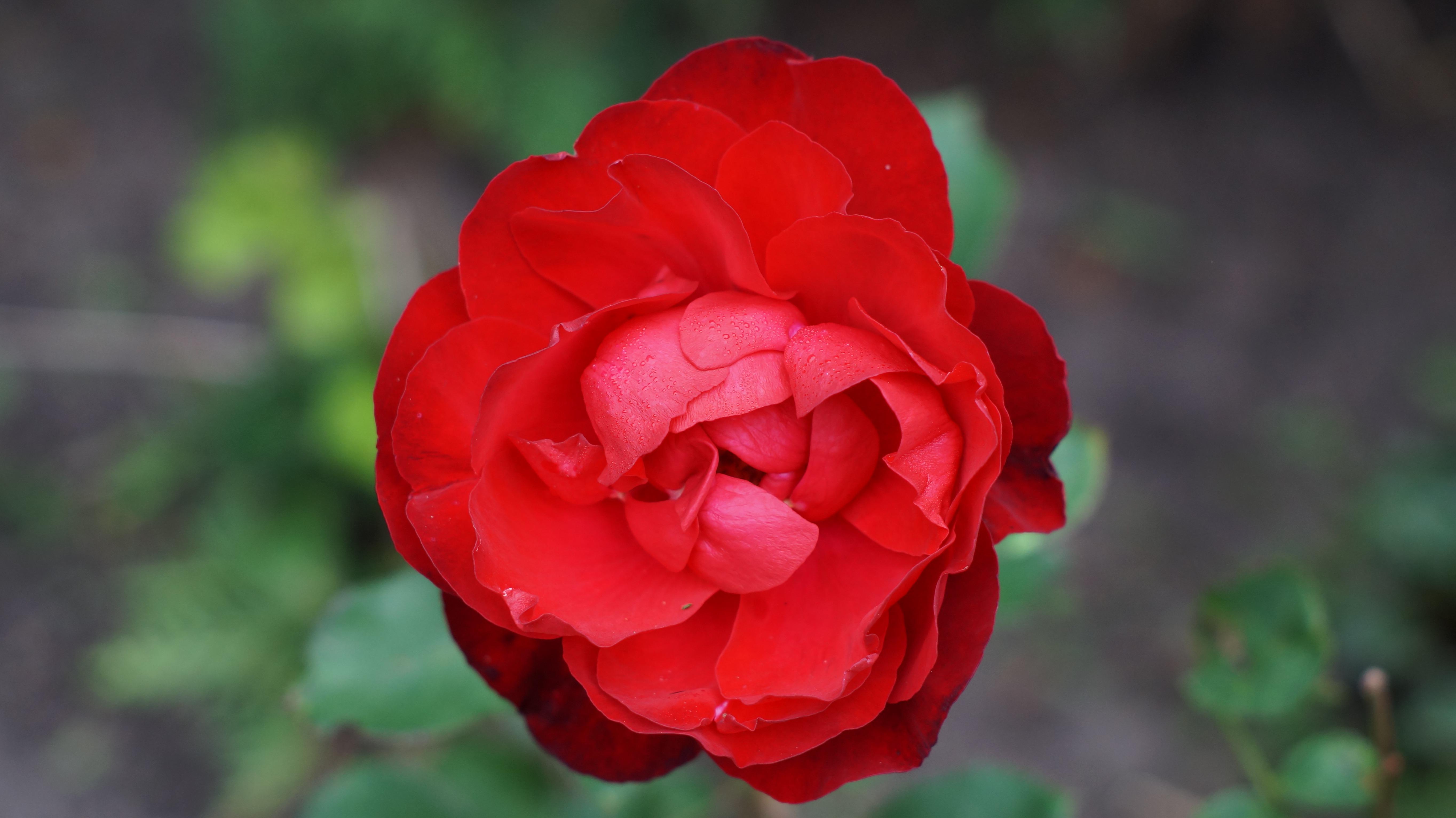 images gratuites : la nature, fleur, pétale, rouge, flore, flash