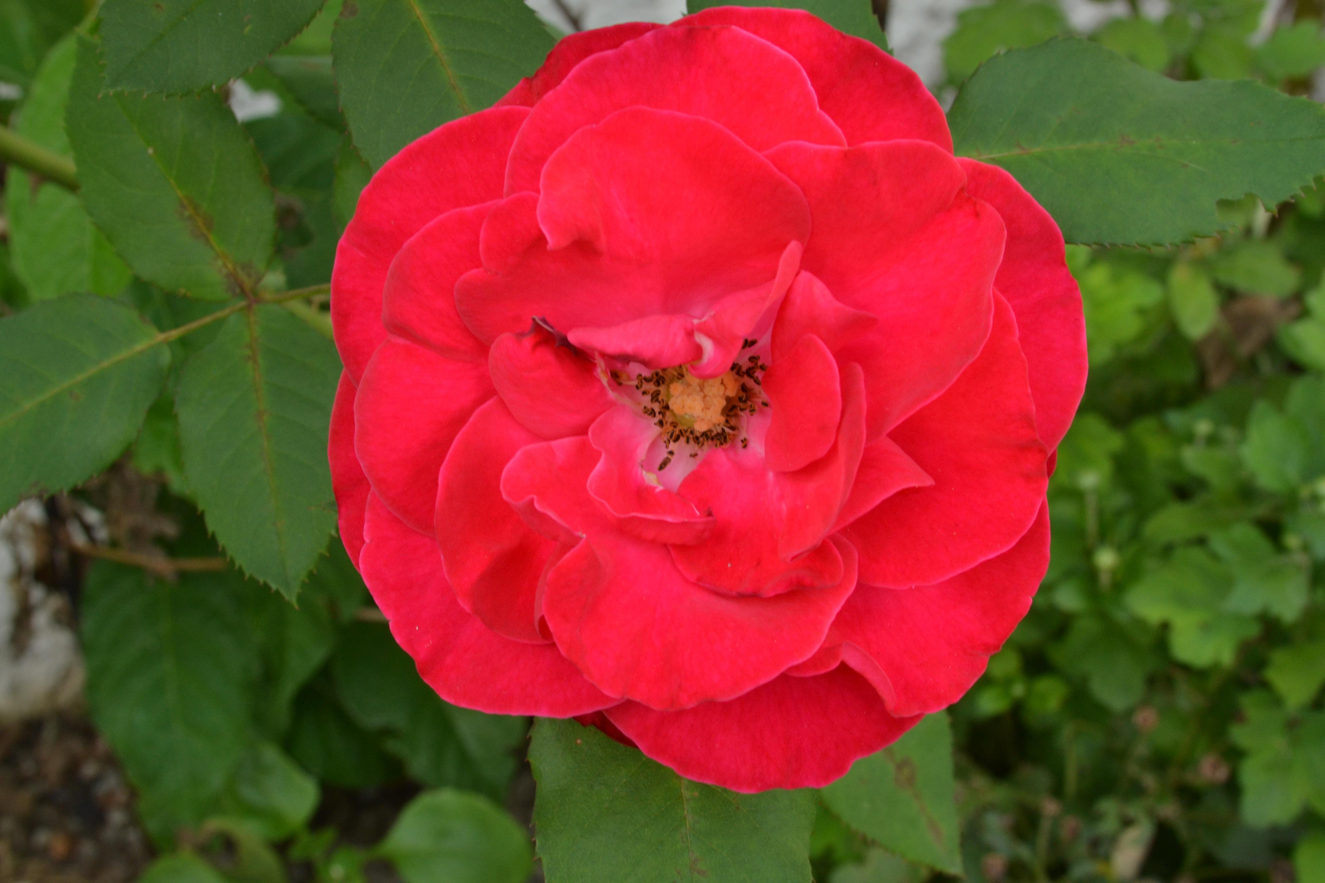images gratuites : la nature, fleur, pétale, rouge, flore