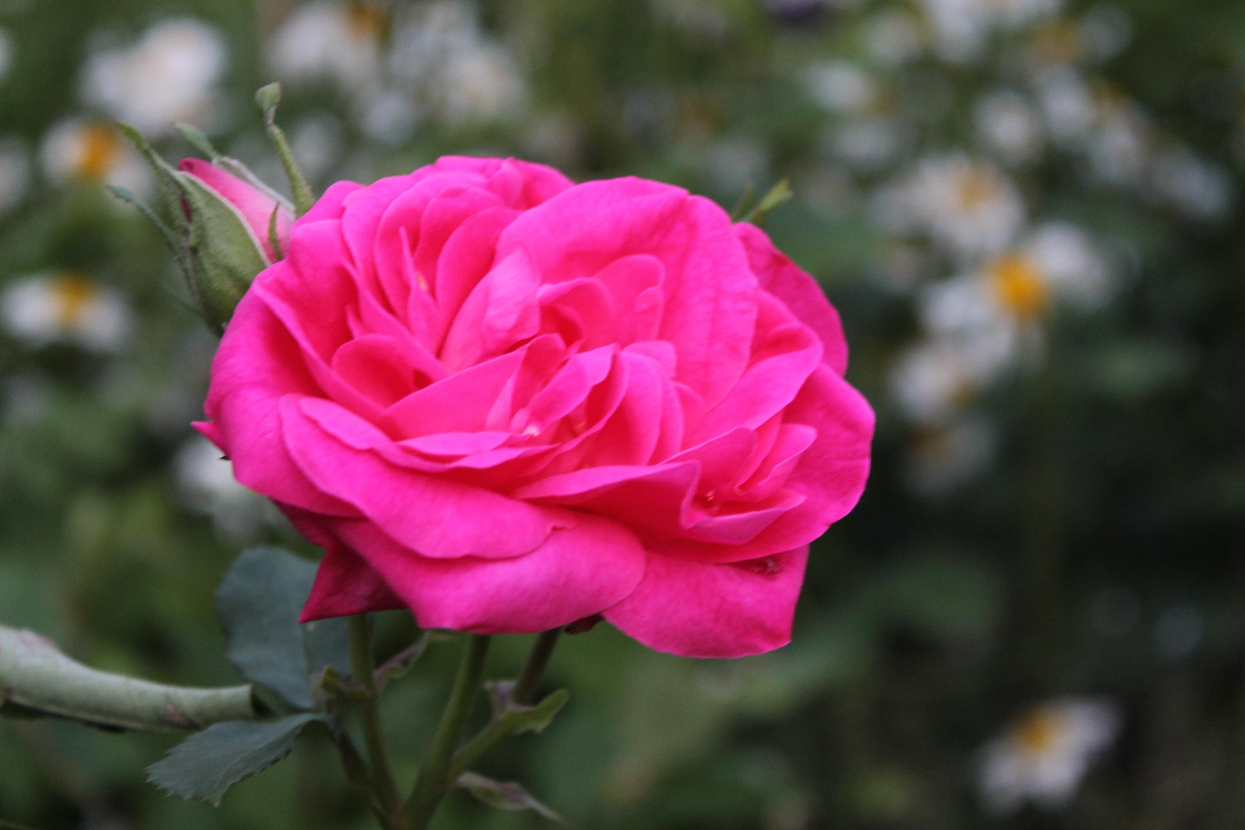 Plantas de rosas como usted tiene una idea acerca de las for Pianta rosa