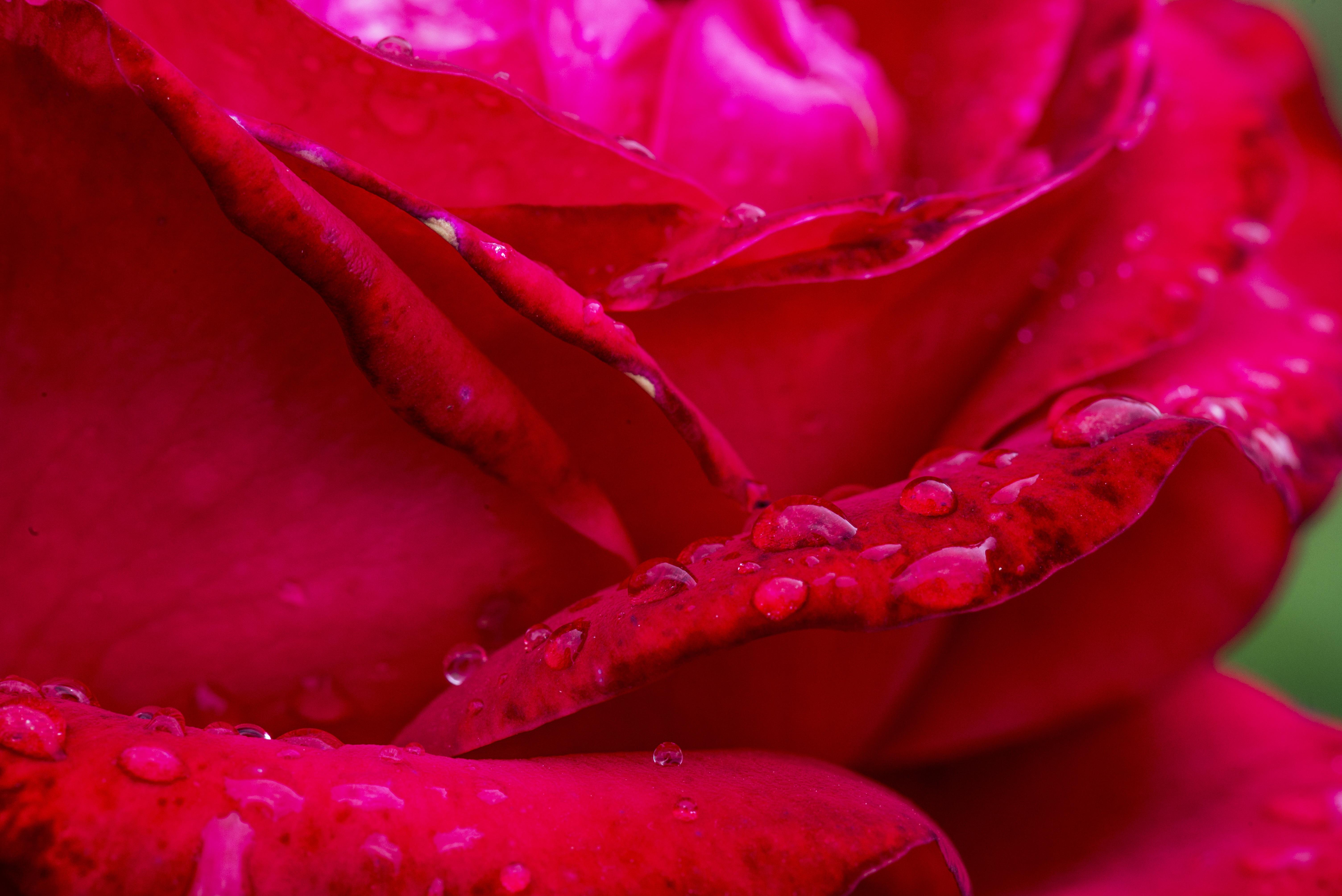 images gratuites : la nature, pétale, rose rouge, fermer, fleur