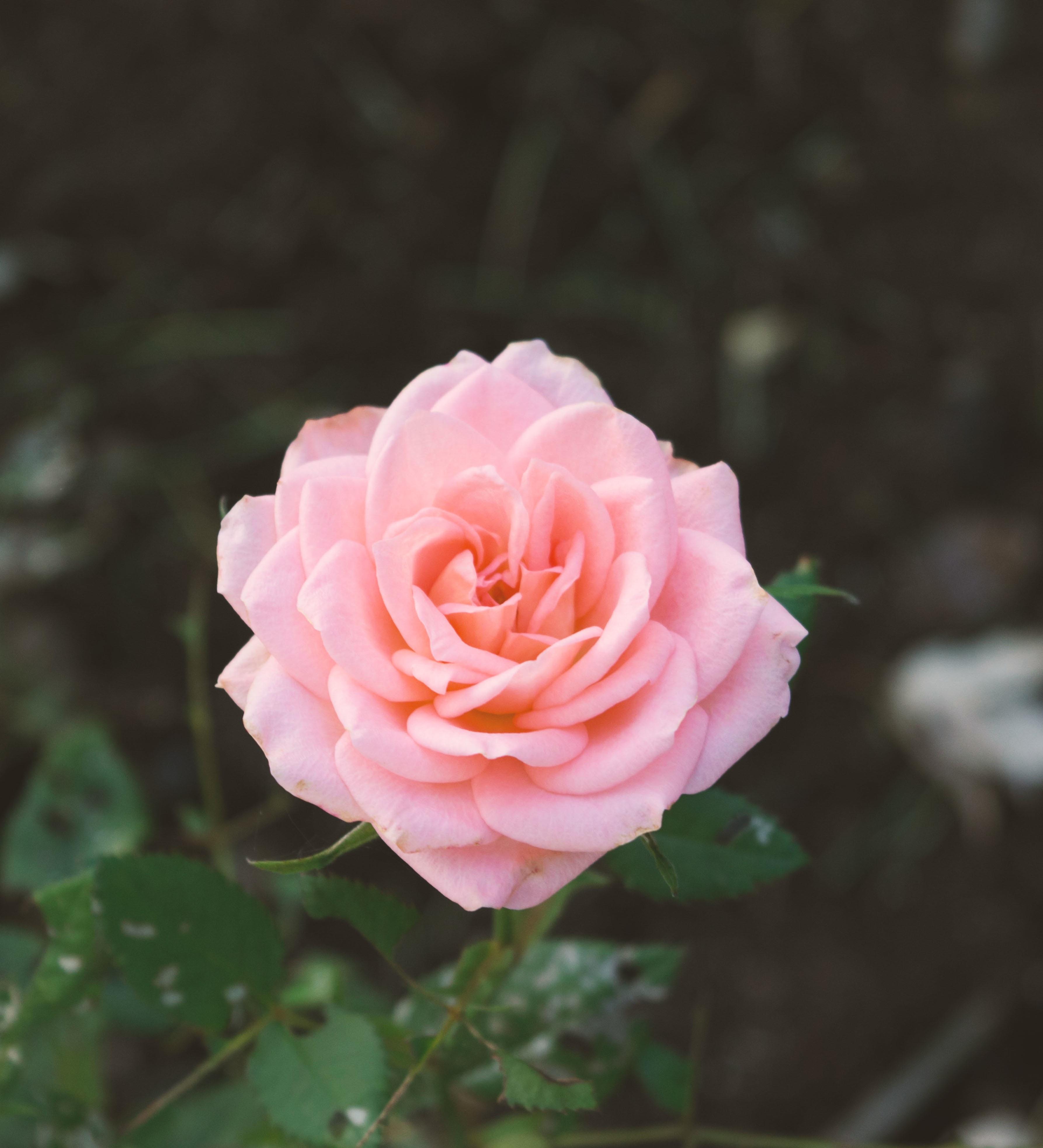 15 Most Beautiful Black Flowers: Fotos Gratis : Naturaleza, Flor, Pétalo, Romántico, Rosado