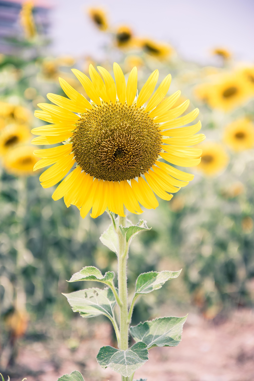 Gambar Alam Menanam Daun Bunga Musim Semi Bunga Matahari