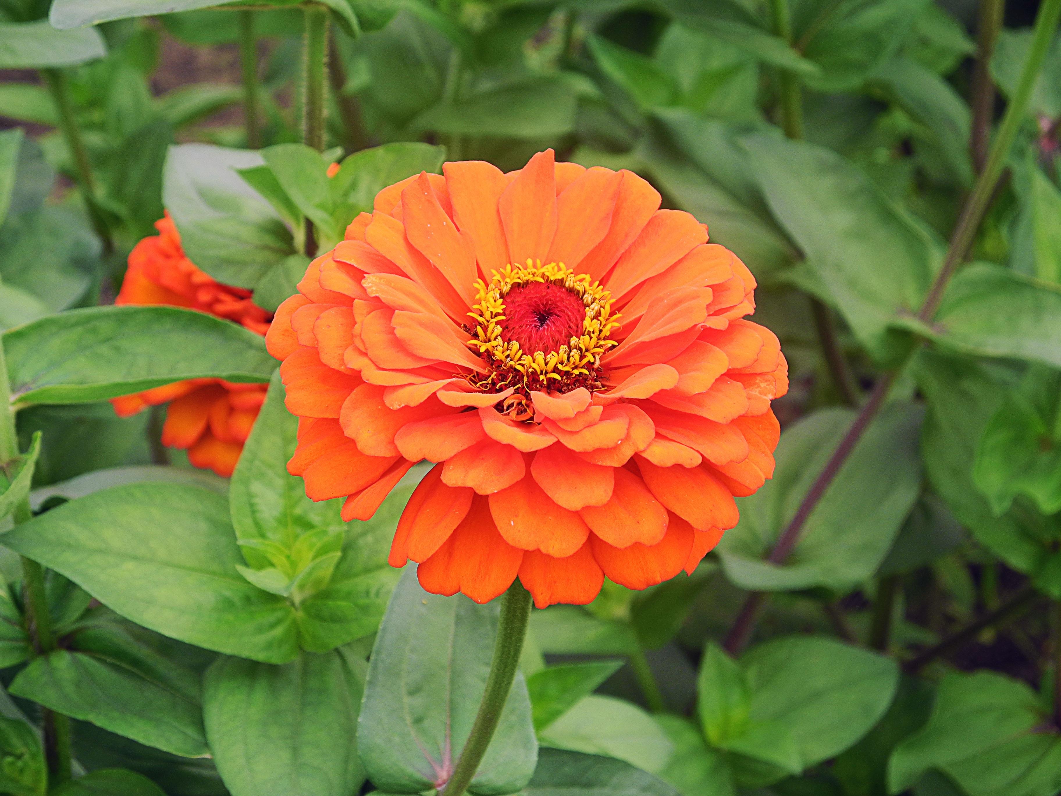 Free Images Nature Petal Botany Flora Dahlia Bright