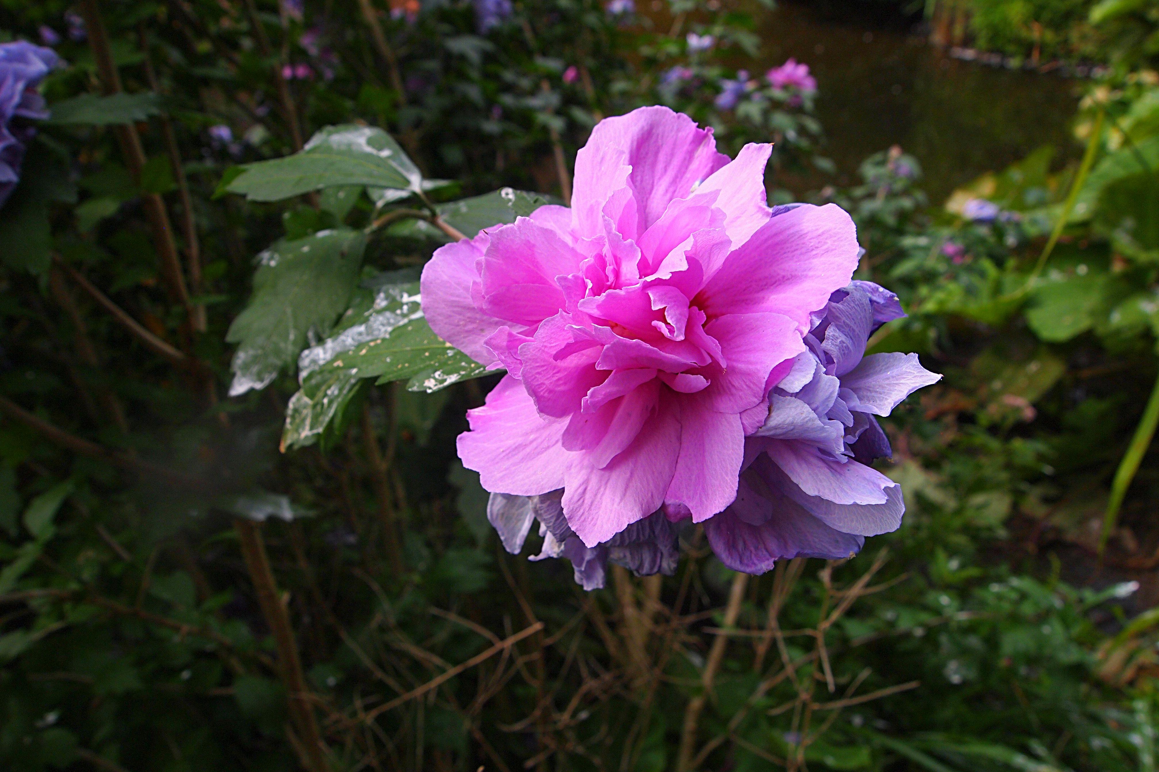 Immagini belle : natura petalo estate colore botanica flora