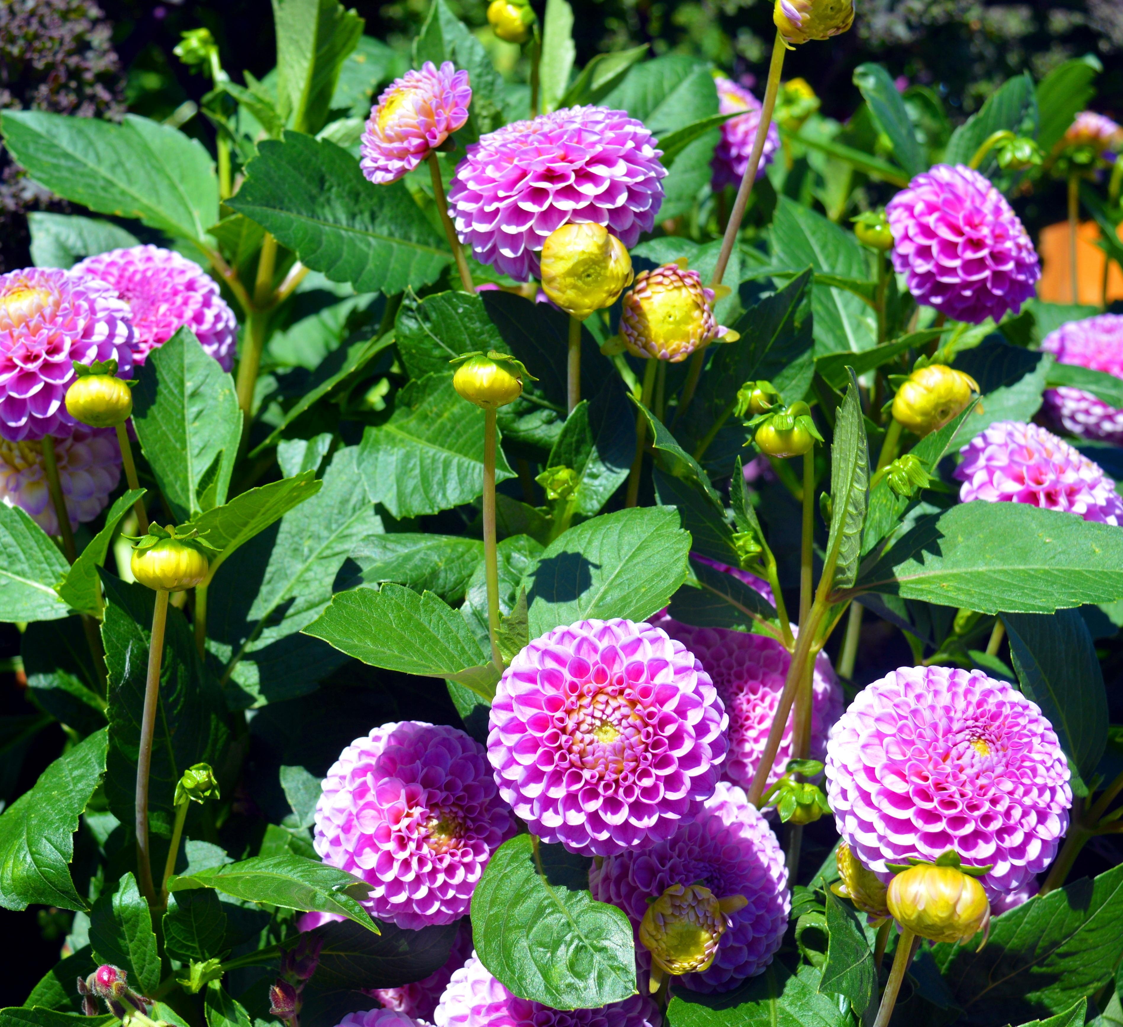 Planta ornamental rosa que son y cuales son las plantas for Pianta rosa