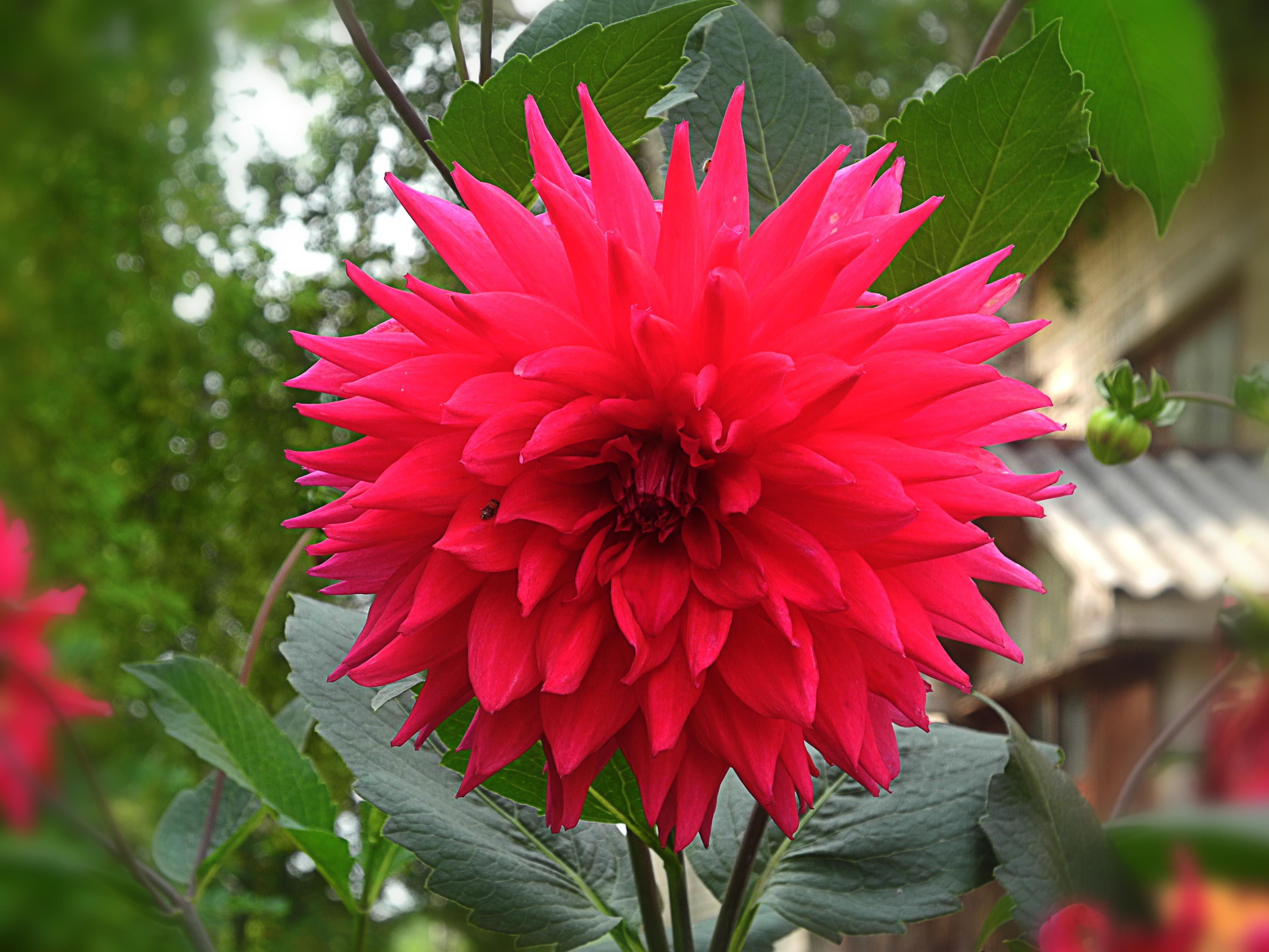 Free Images Nature Petal Red Botany Flora Dahlia Bright