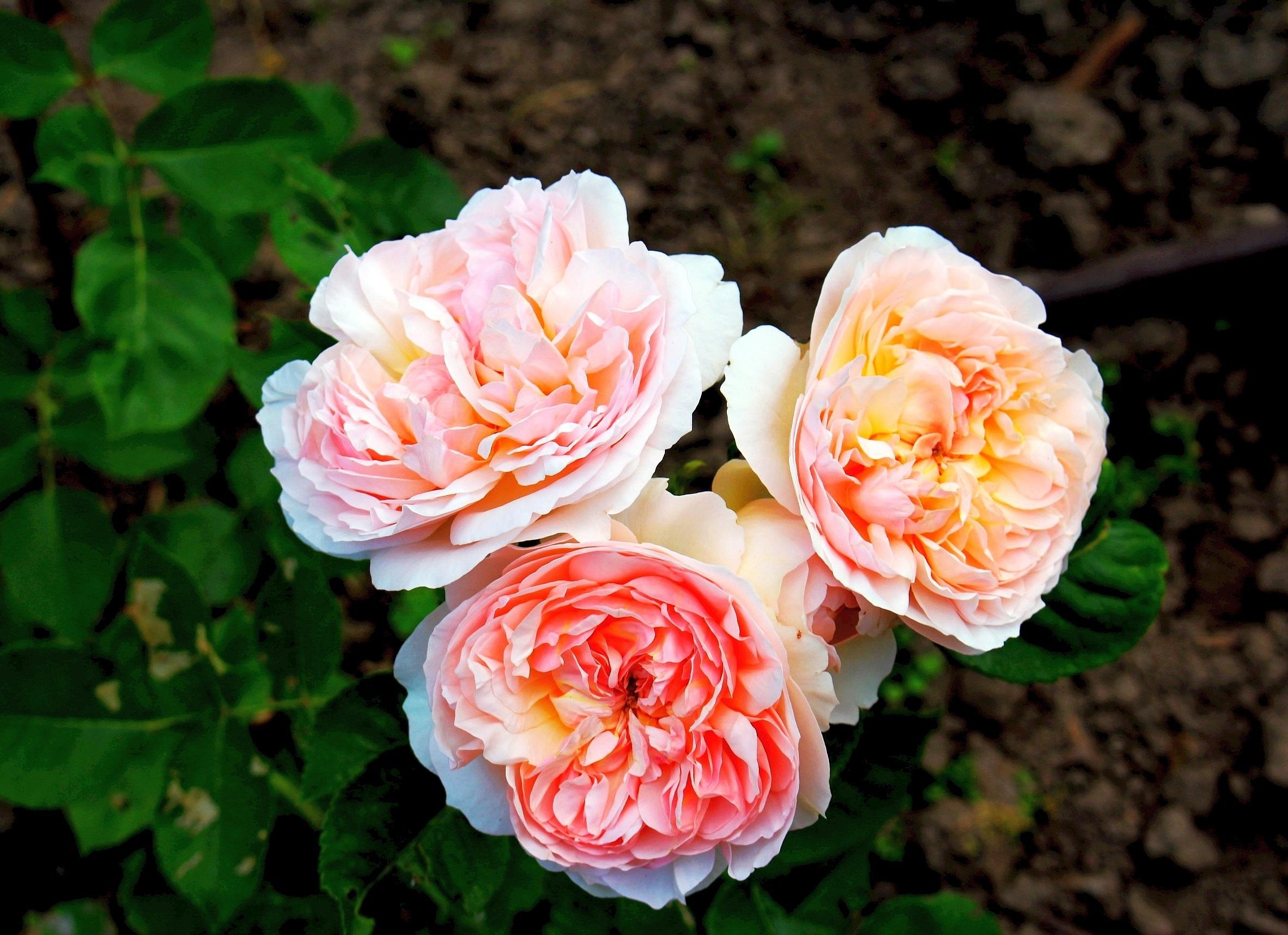Images gratuites la nature fleur p tale t flore for Plantes ornement jardin