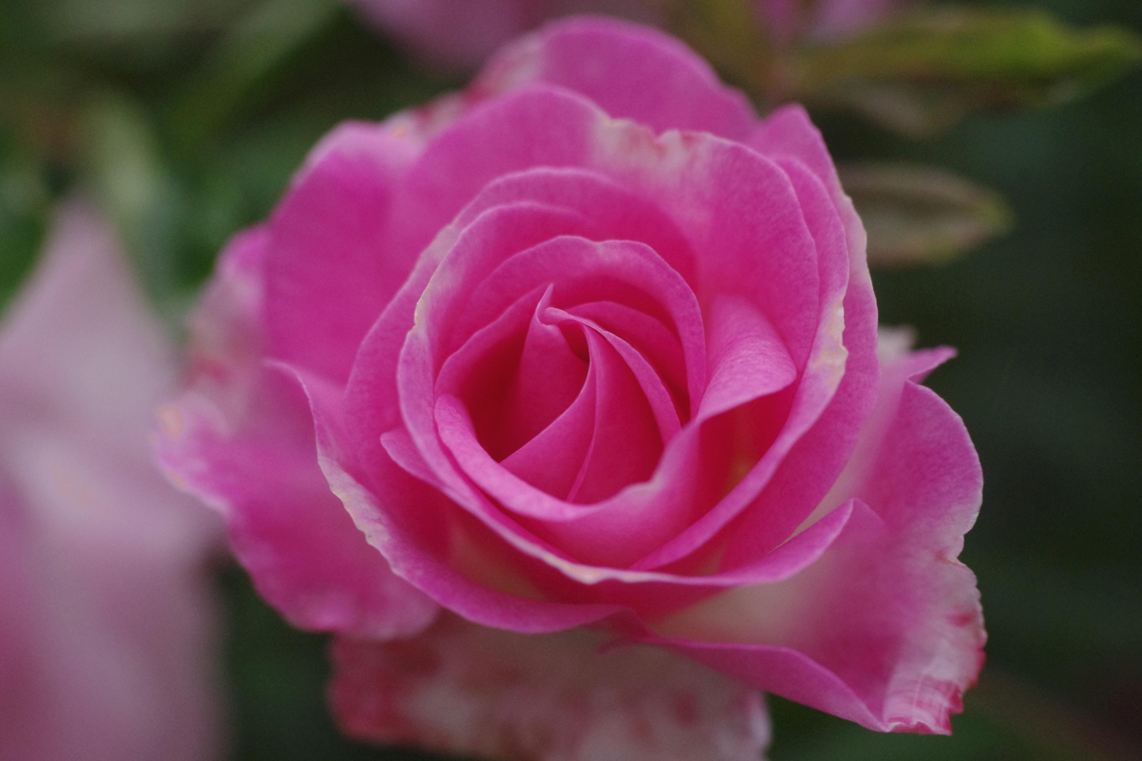 fotos gratis naturaleza p talo verano rosado flora p talos floribunda entradas. Black Bedroom Furniture Sets. Home Design Ideas